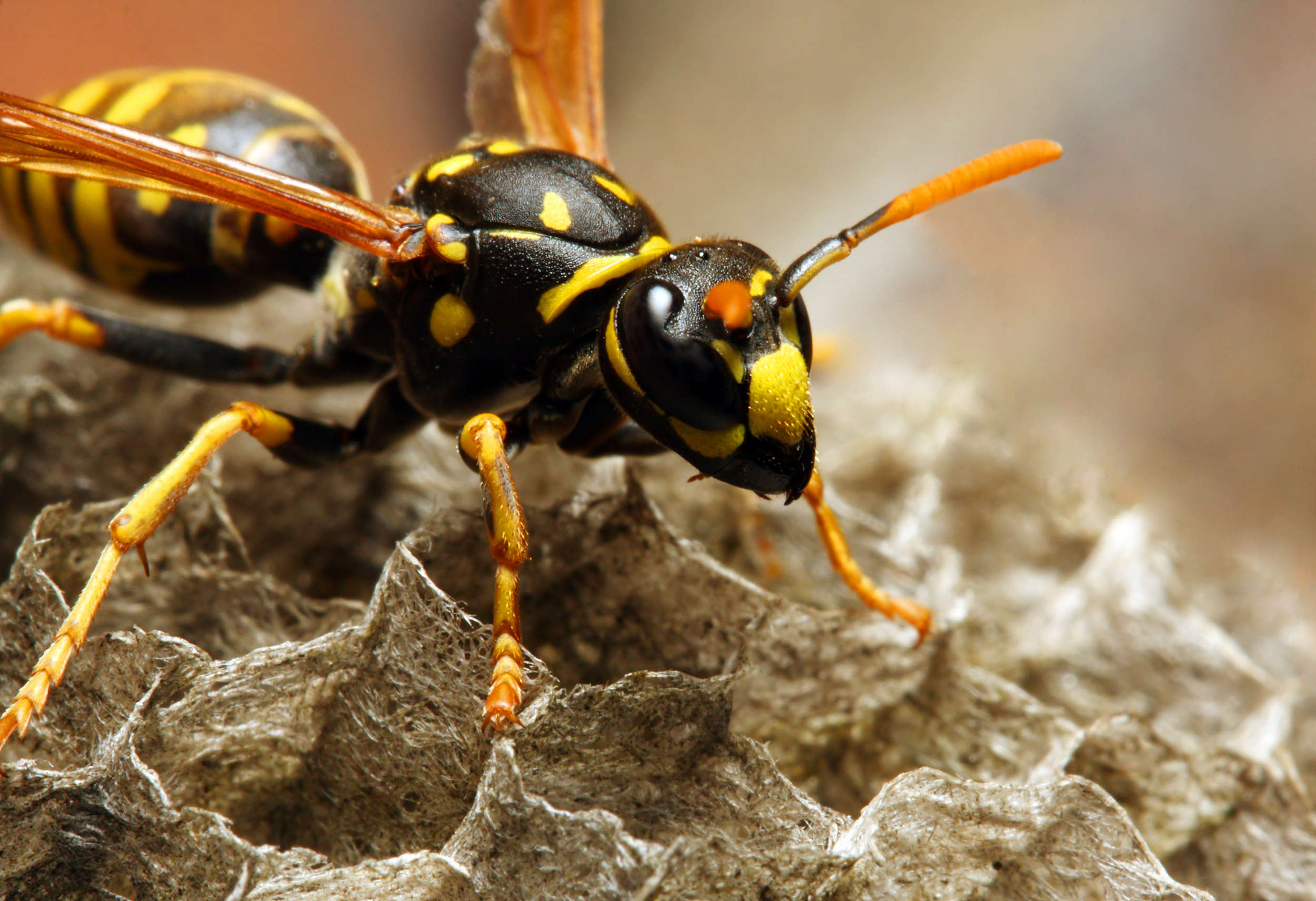The Common Wasp