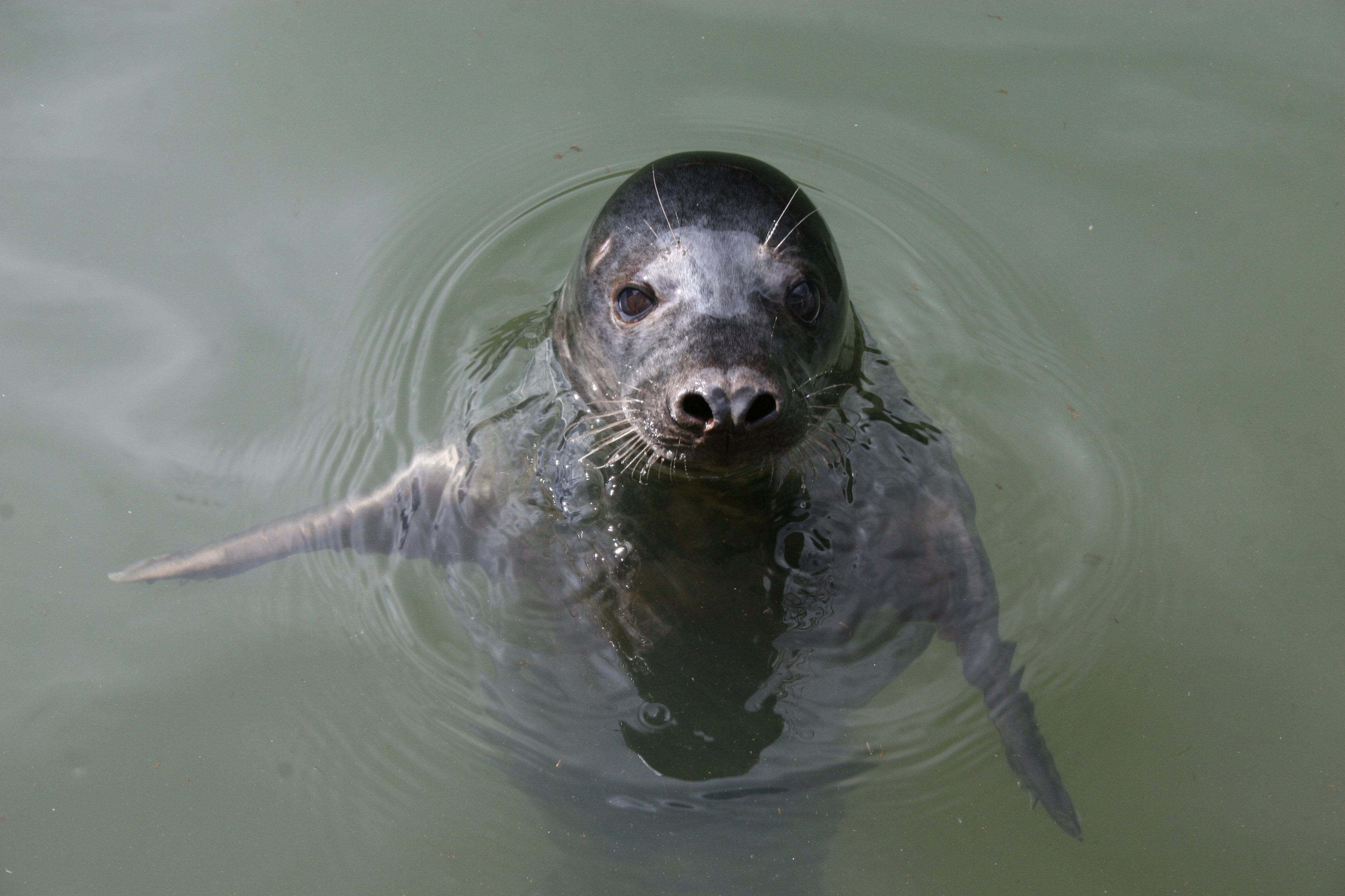"One of the ""singing"" seals (University of St Andrews/ PA)"