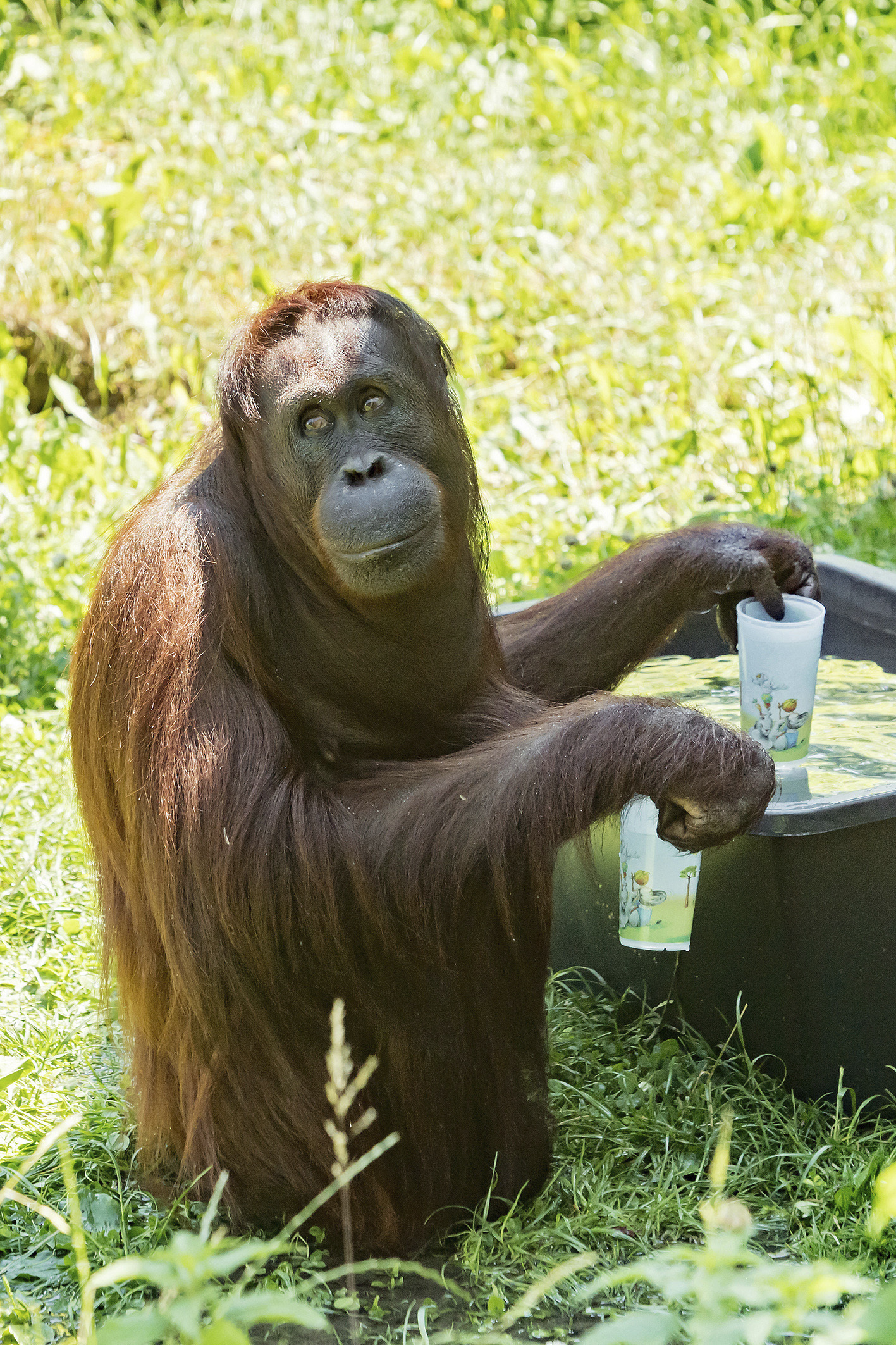 A handout picture of an orangutan filling his cups with water at the zoo Schoenbrunn in Vienna, Austria