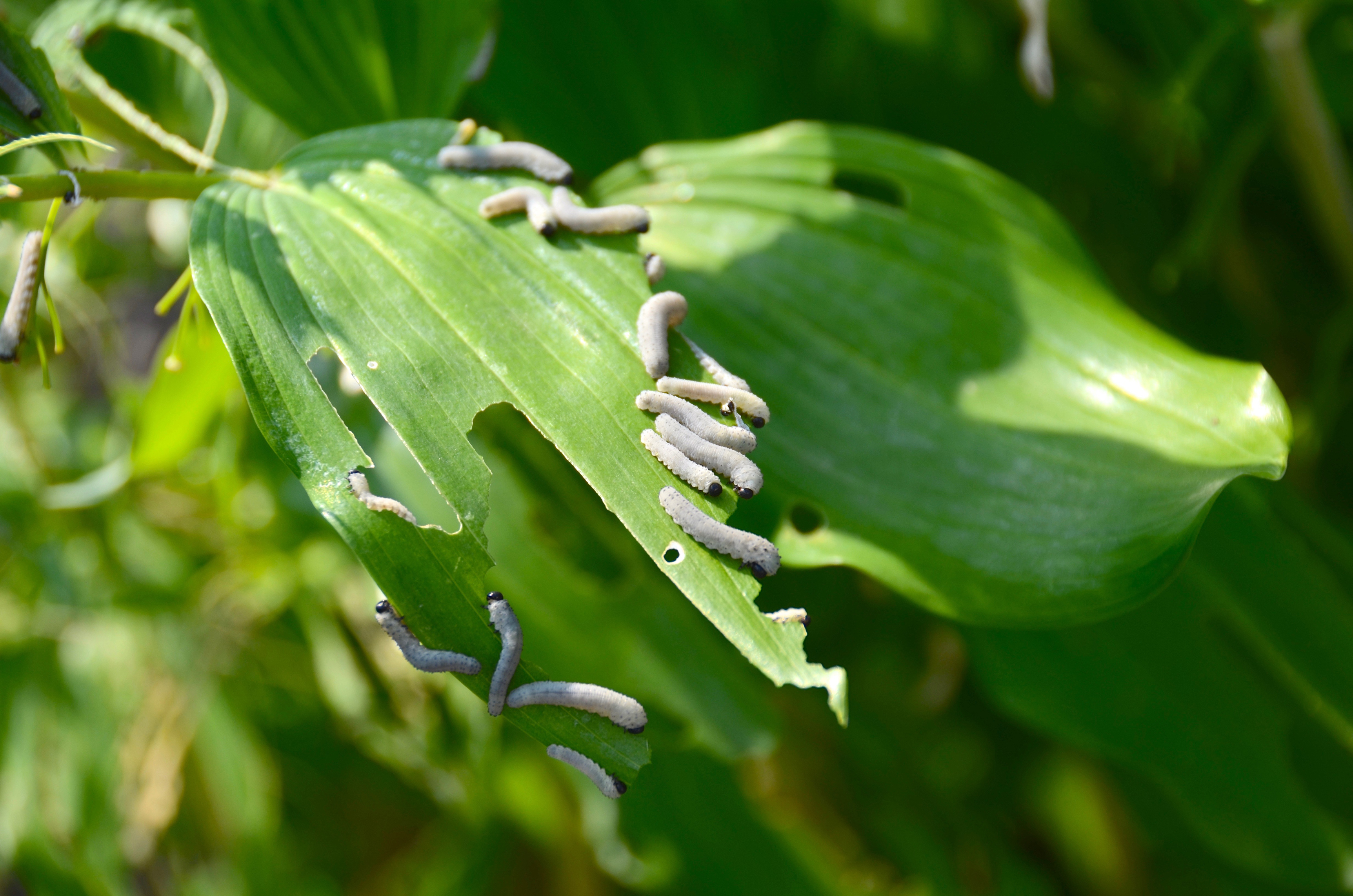 The sawfly larvae are the destructive pests, not the adults (iStock/PA)