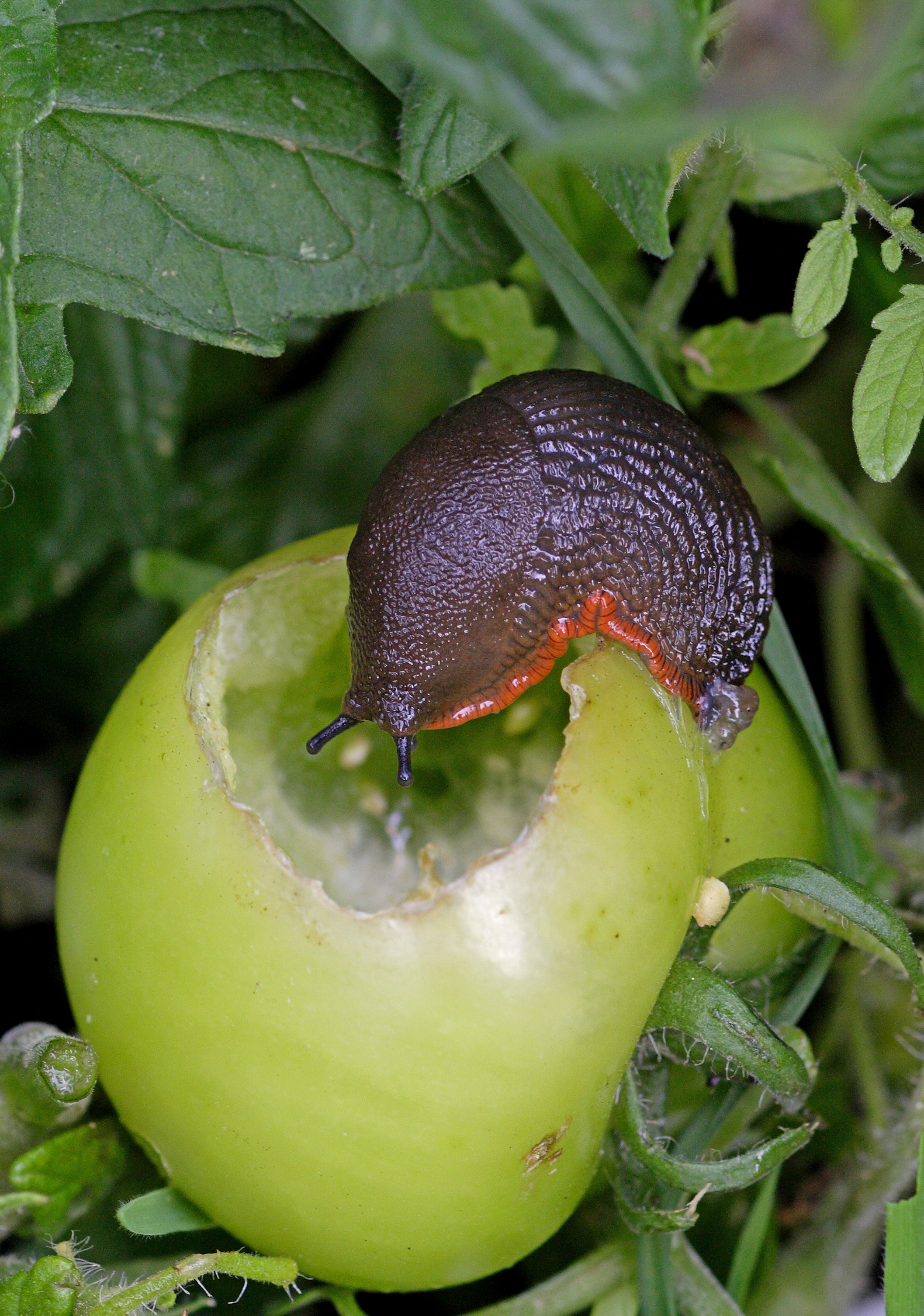 Slugs will feast on tomatoes (iStock/PA)