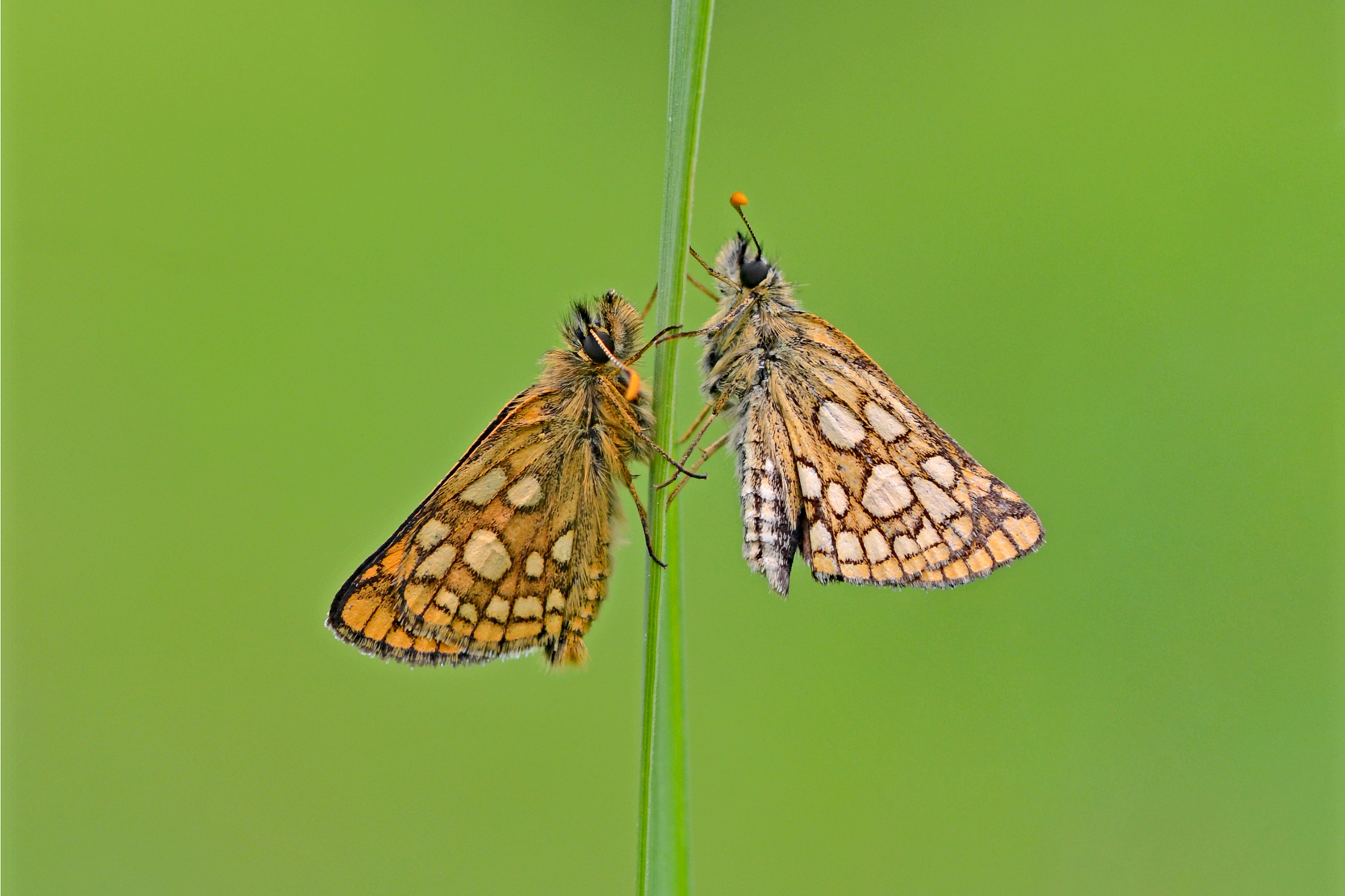 The project aims to re-establish a sustainable population of the butterfly (Andrew Cooper/Butterfly Conservation/PA)
