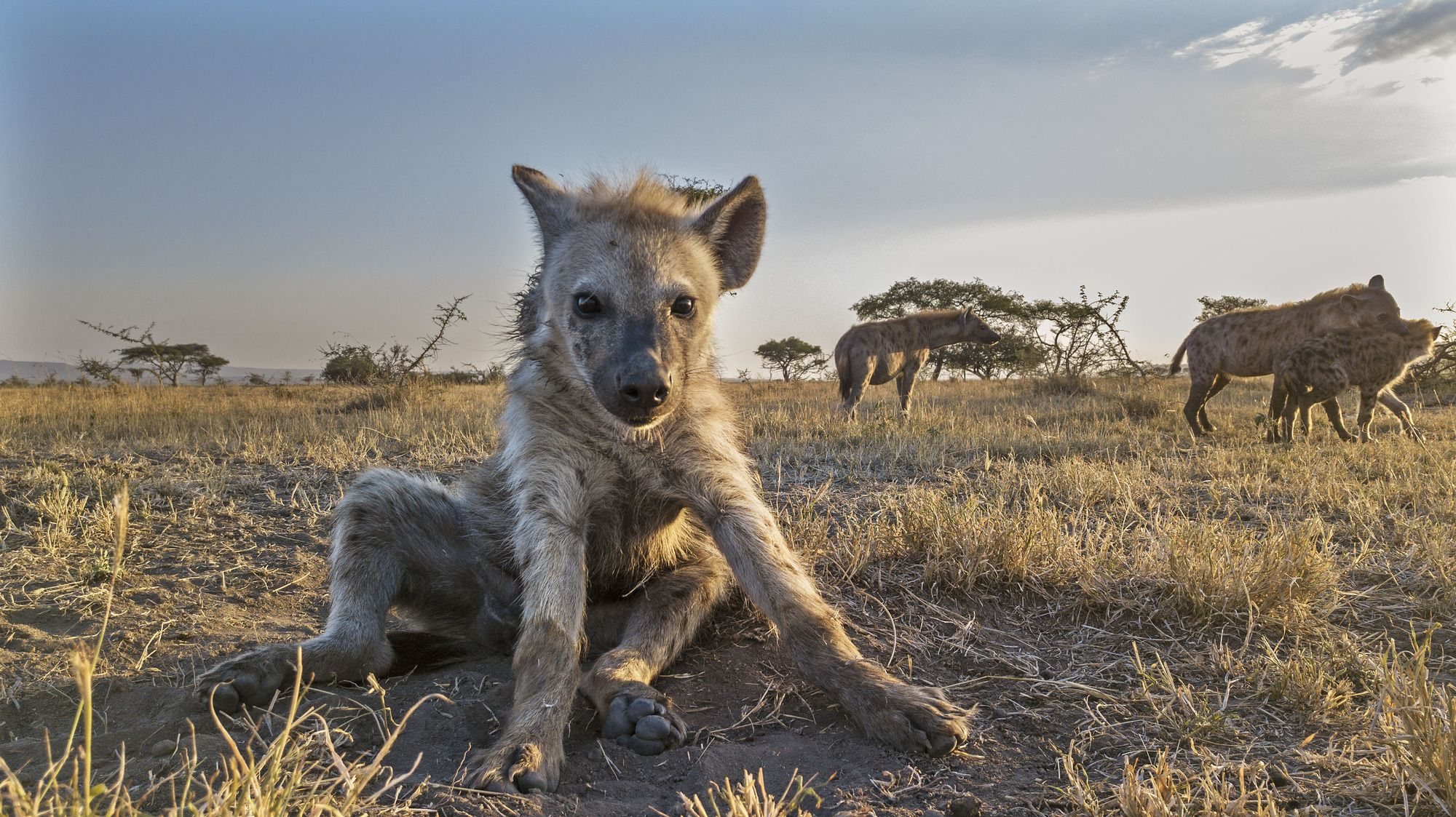 A hyena featured in Serengeti (John Downer Productions/ Matthew Goodman/BBC/PA)