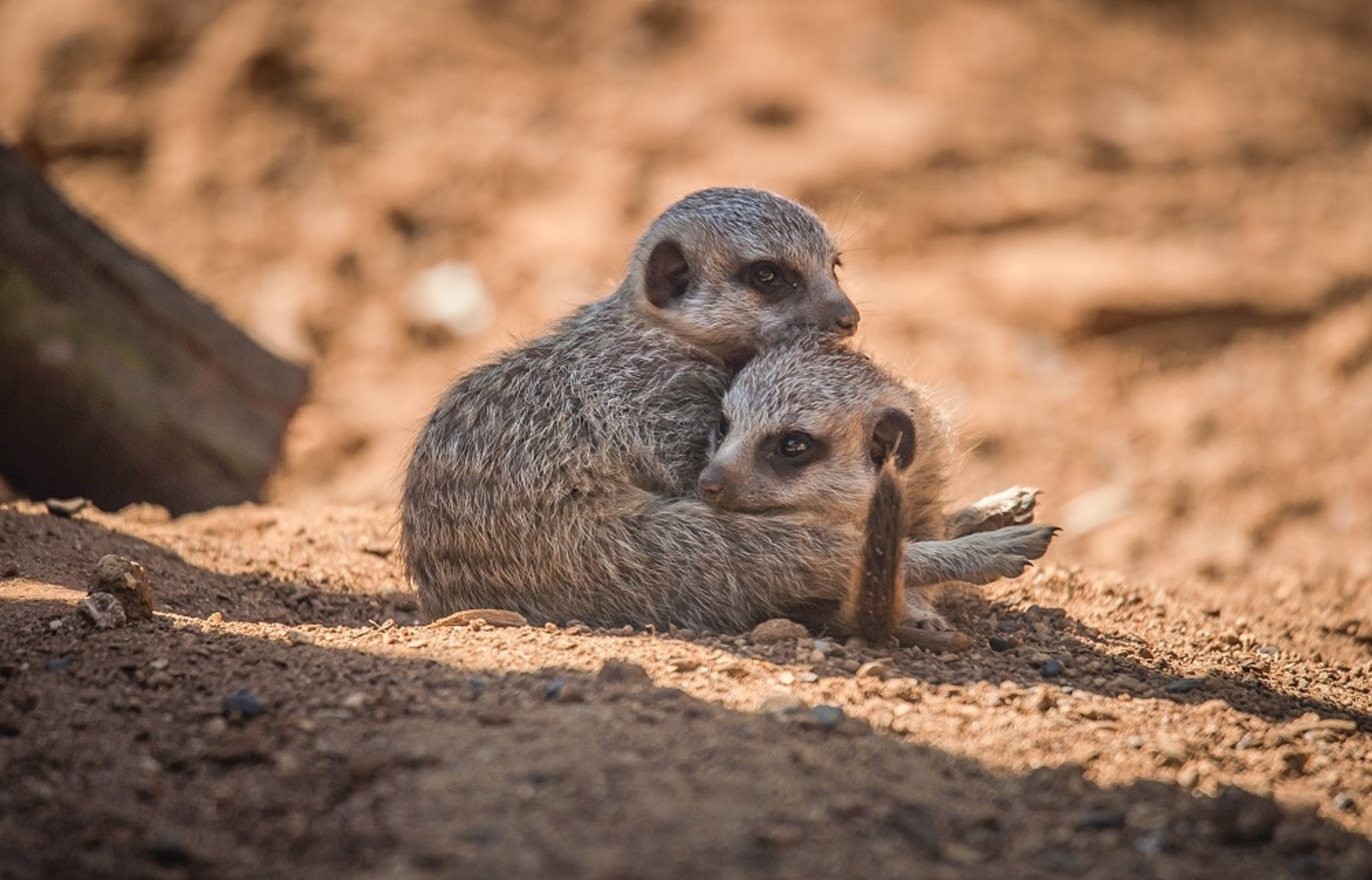 Baby meerkats explore for the first time in Chester Zoo