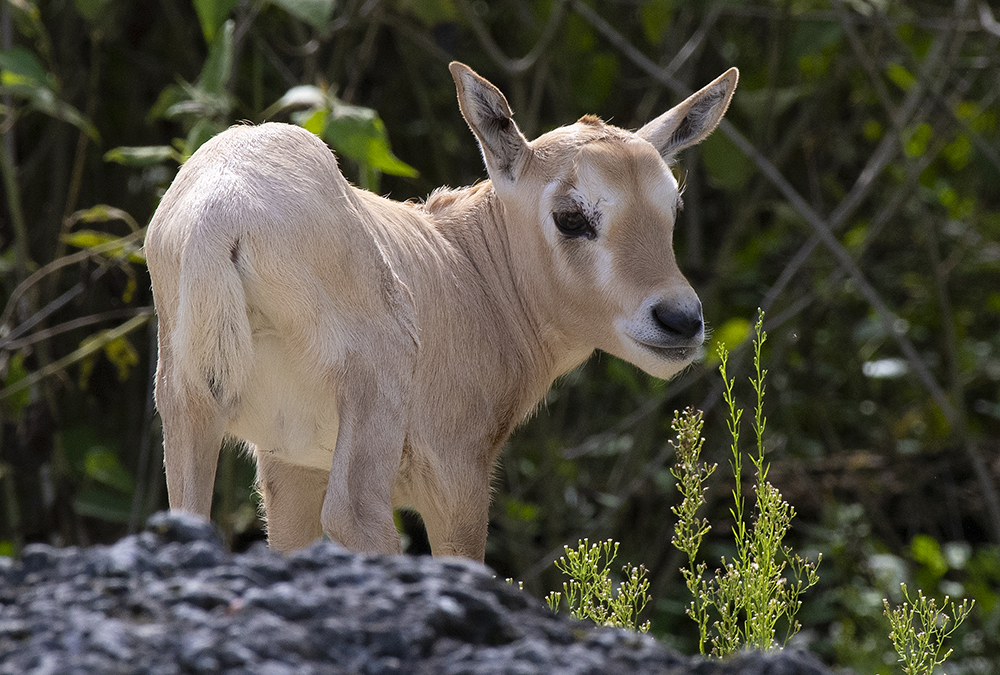 A young oryx at Zoo Miami