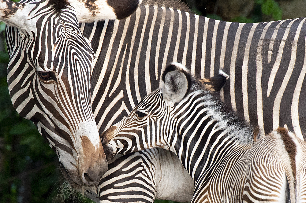 A young zebra at Zoo Miami