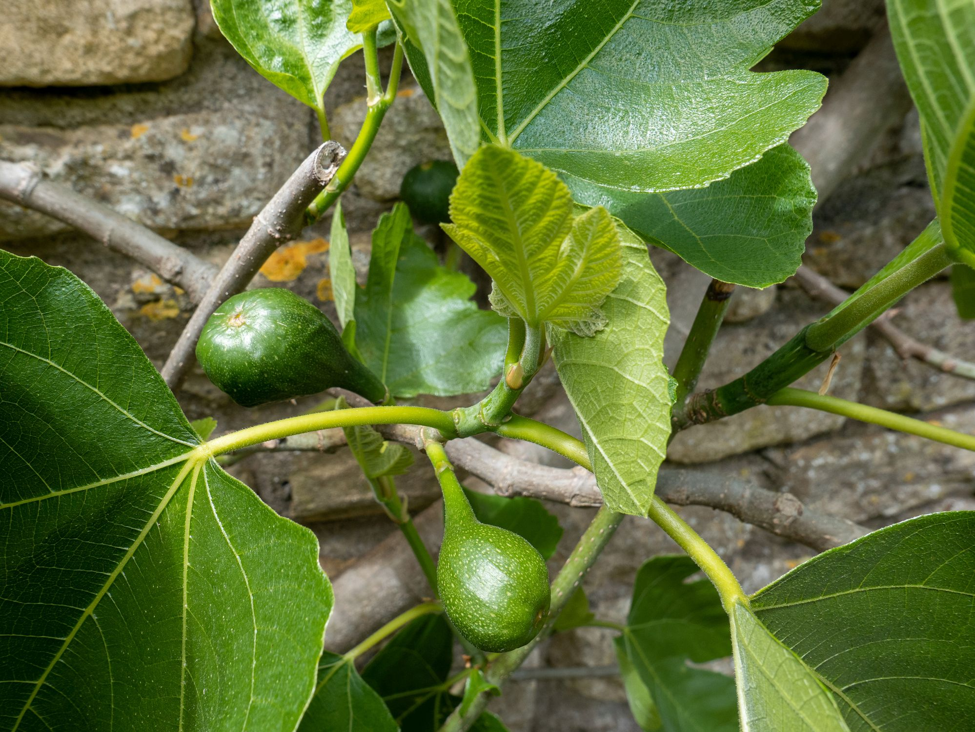 Figs ripening on a fig tree