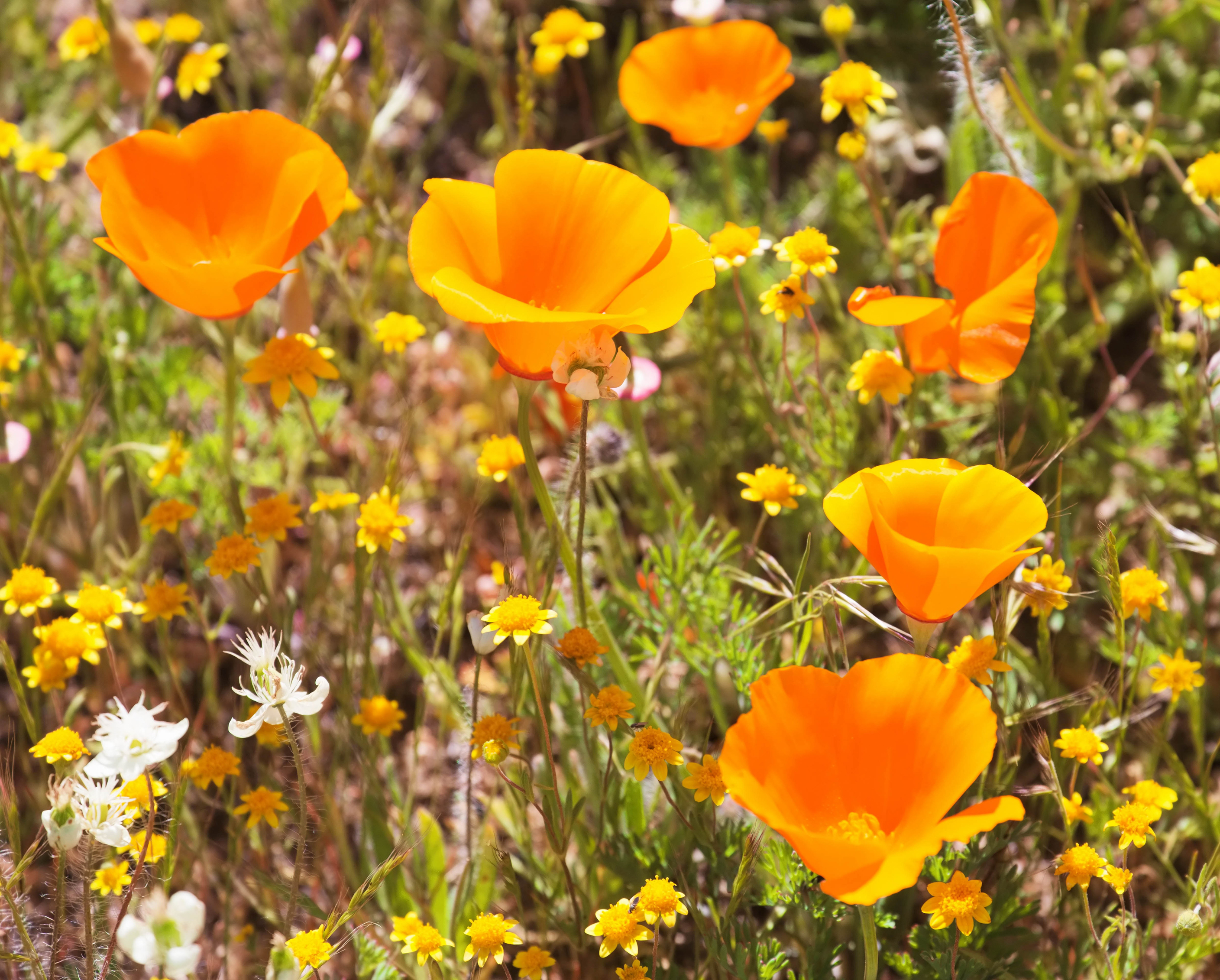 Californian poppies are great for dry gardens (iStock/PA)