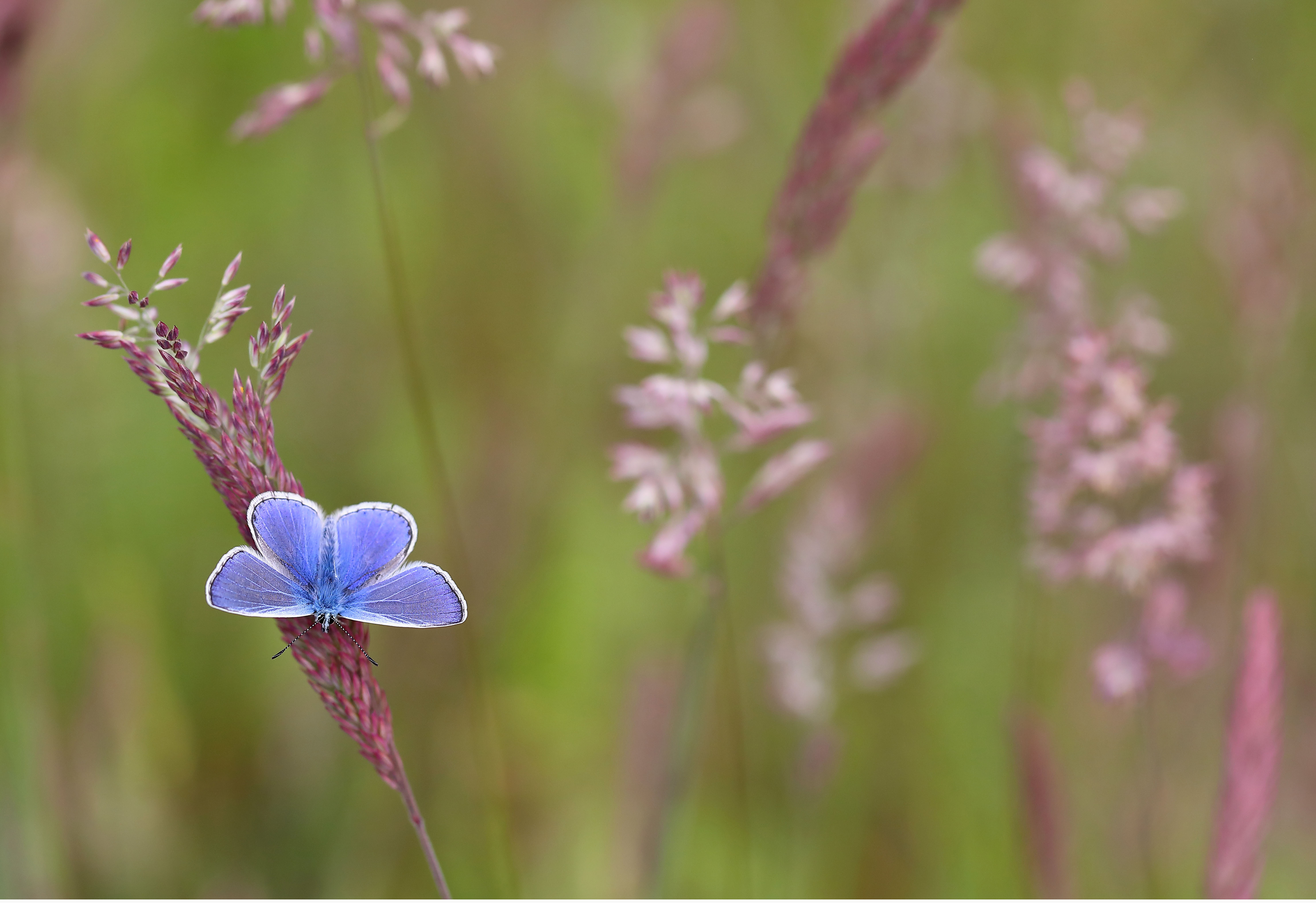 The common blue is another of the butterflies people are asked to look out for (Mark Searle/Butterfly Conservation/PA)