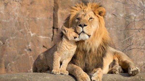 'Healthy and active' African lion cub born at Denver Zoo in Colorado