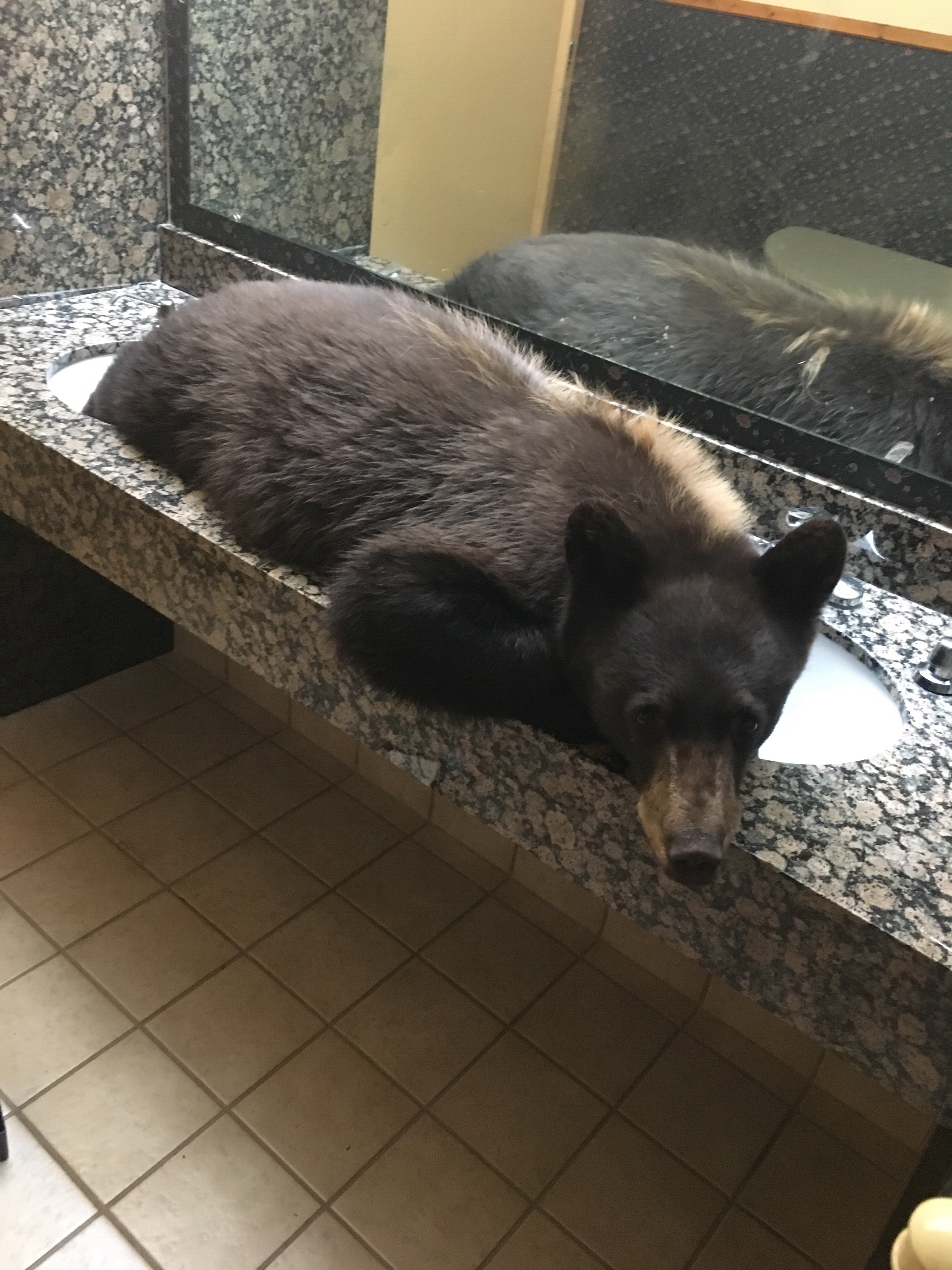 A bear curled up in a restaurant restroom
