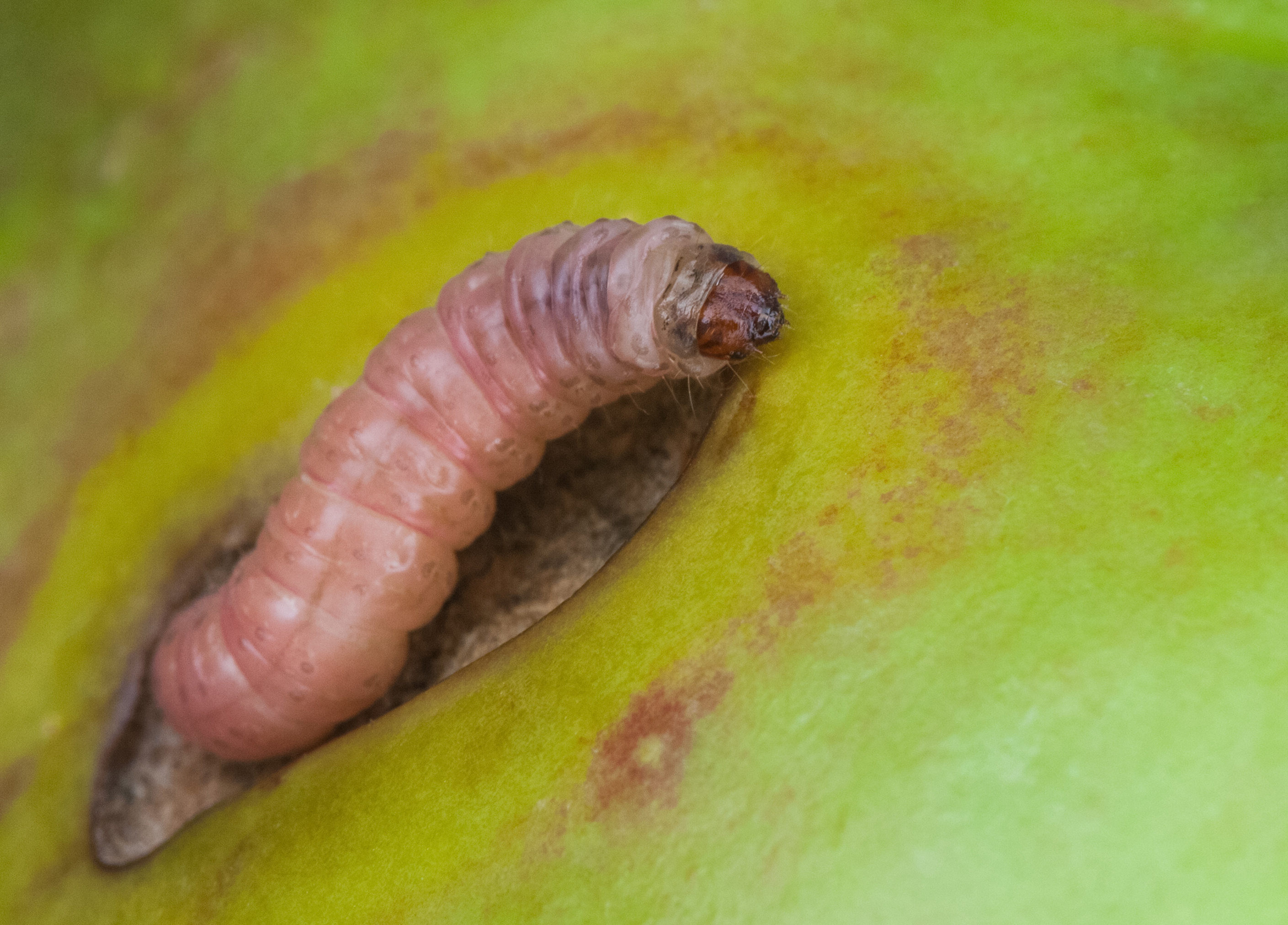 Codling moth larvae can devastate apples (iStock/PA)