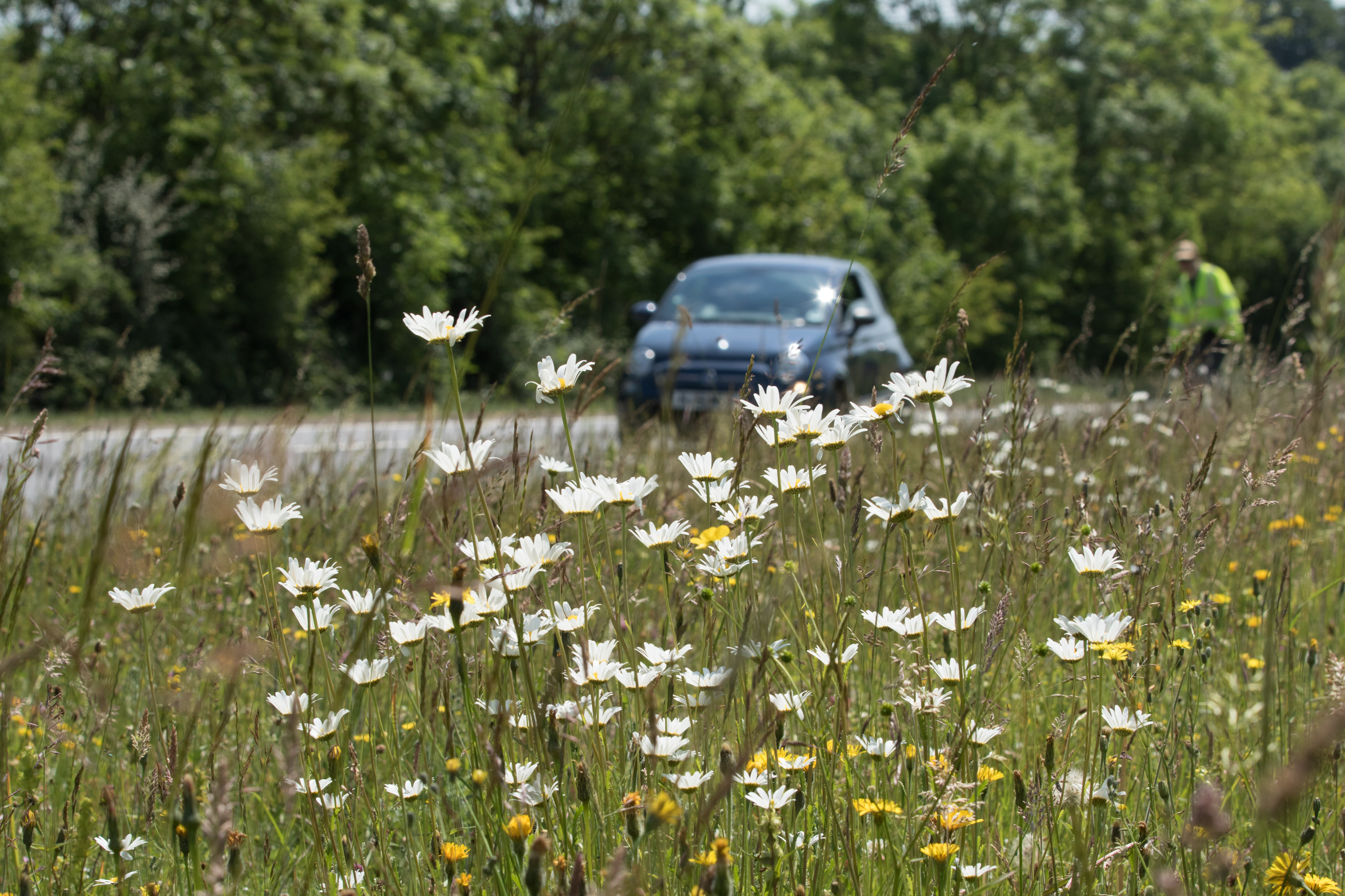 Plants such as oxeye daisies could be a common sight for drivers if the measures are adopted ( Joss Barratt/Plantlife/PA)