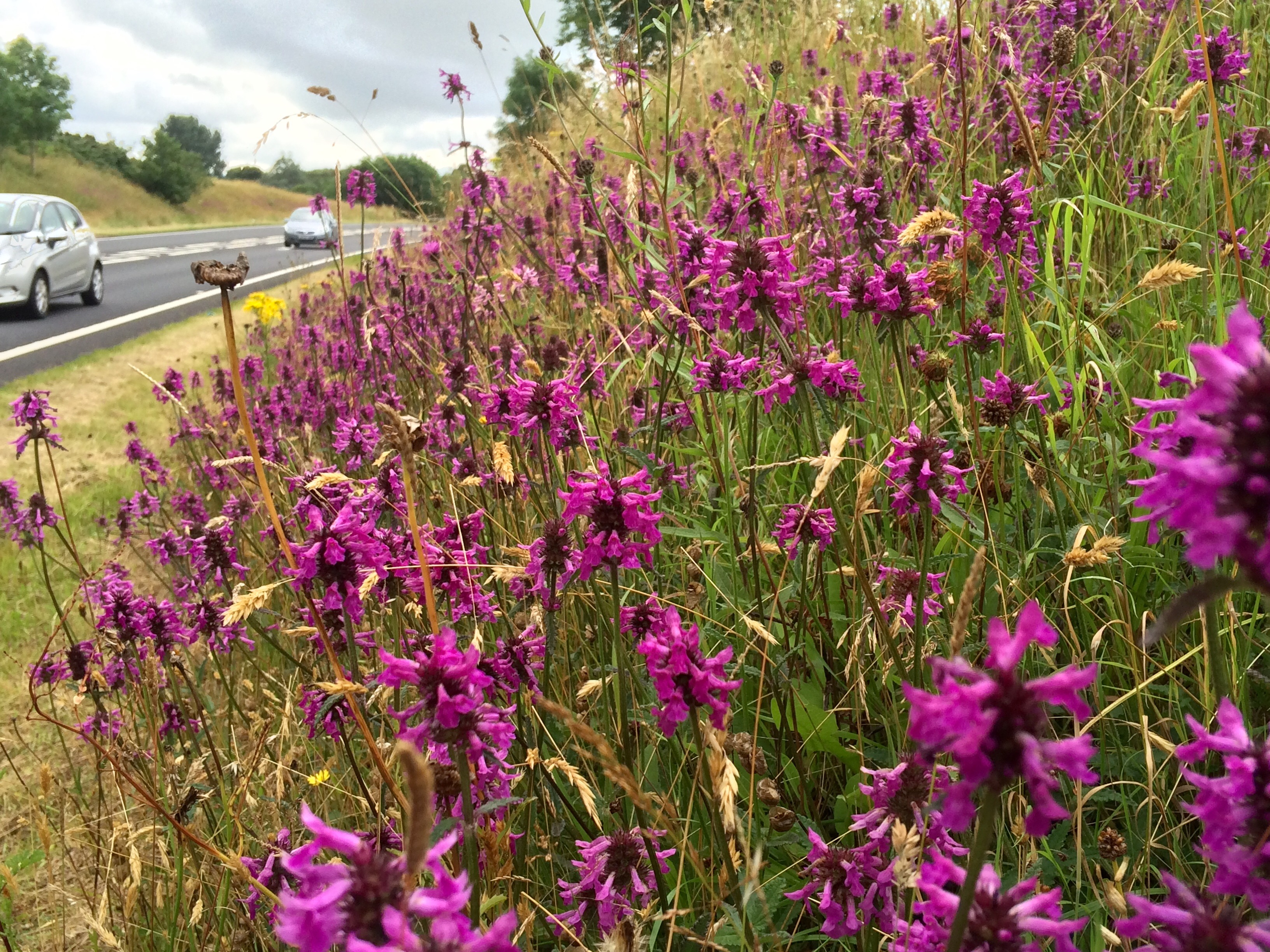Verges such as Betony Felinheli bypass can bring a flash of nature to commuters (Trevor Dines/Plantlife/PA)