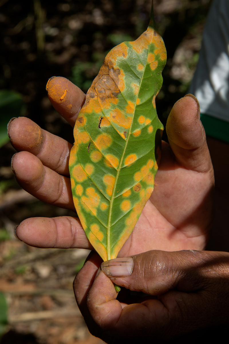 Leaves with La Roya (coffee rust) in San Miguel del Faique, Piura, Peru