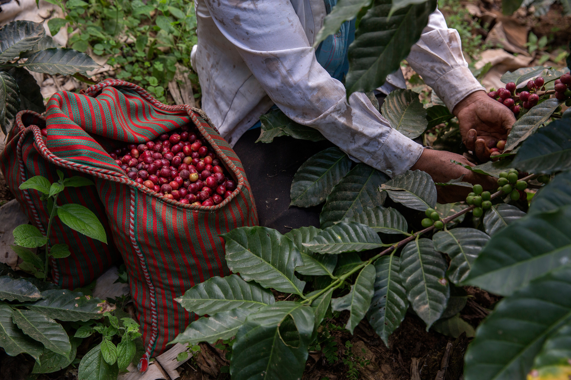Workers in Piura harvest coffee cherries by hand