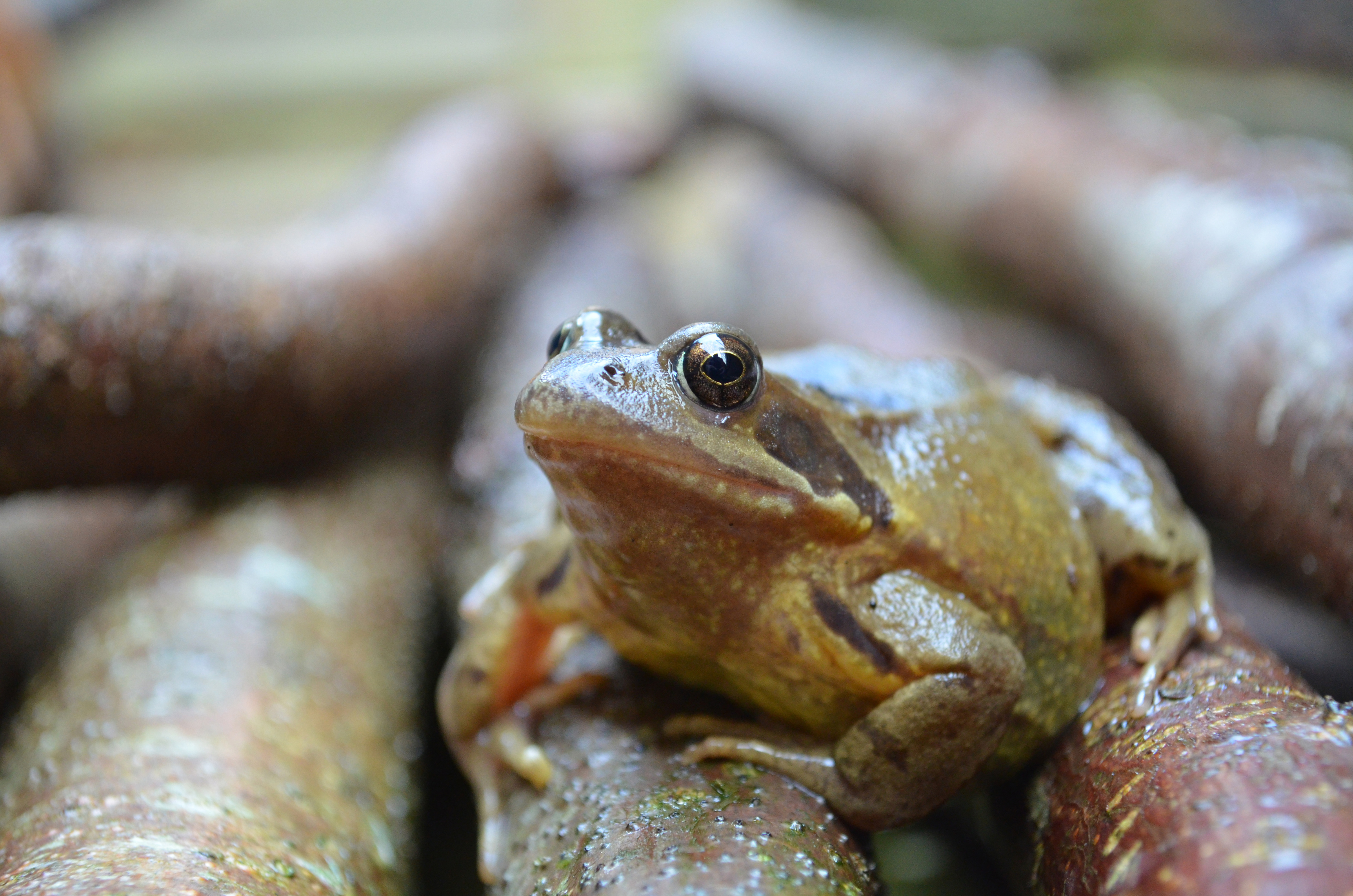 Frogs often hibernate on dry land (iStock/PA)