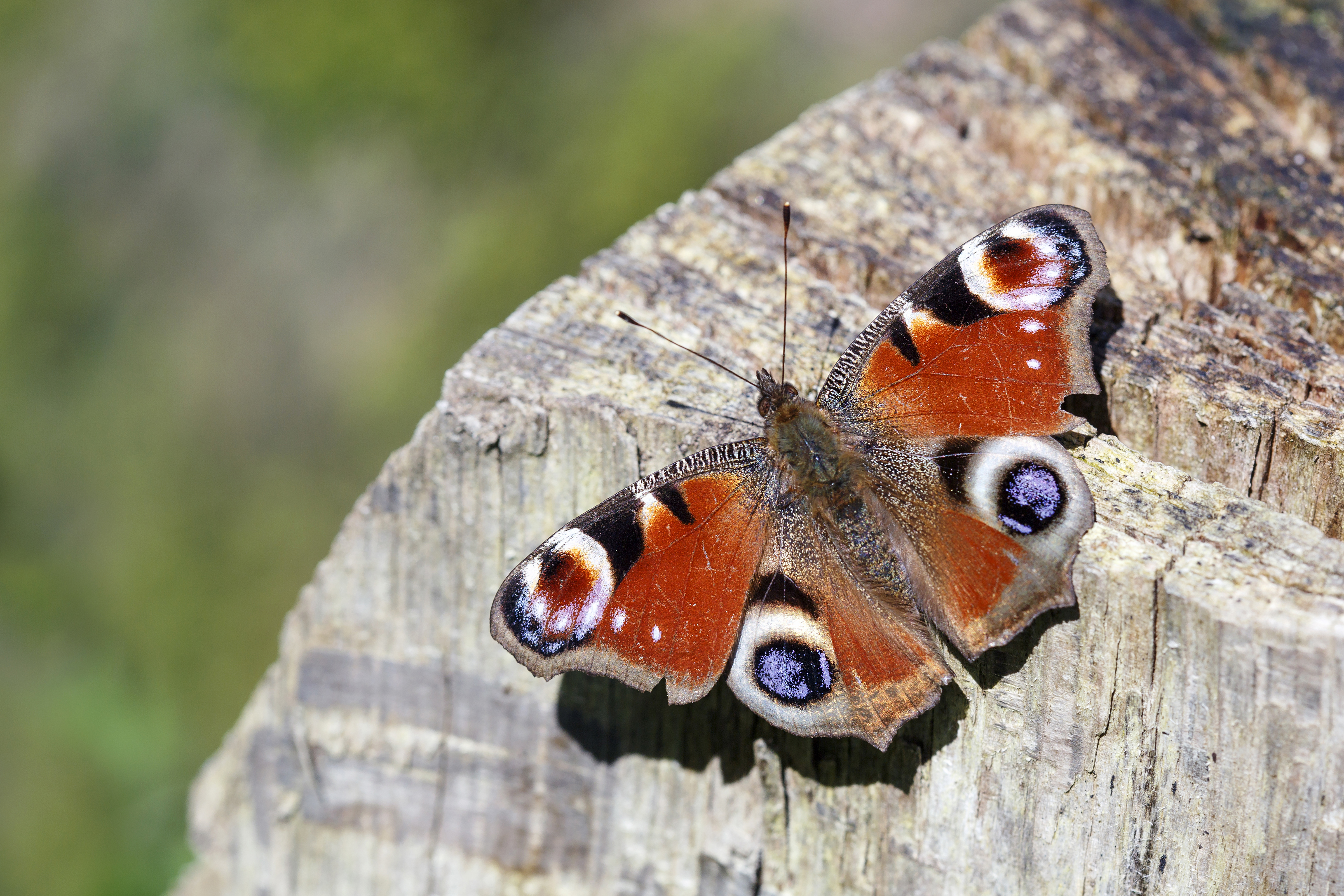 Some butterflies, like the peacock, enter dormancy in winter (iStock/PA)