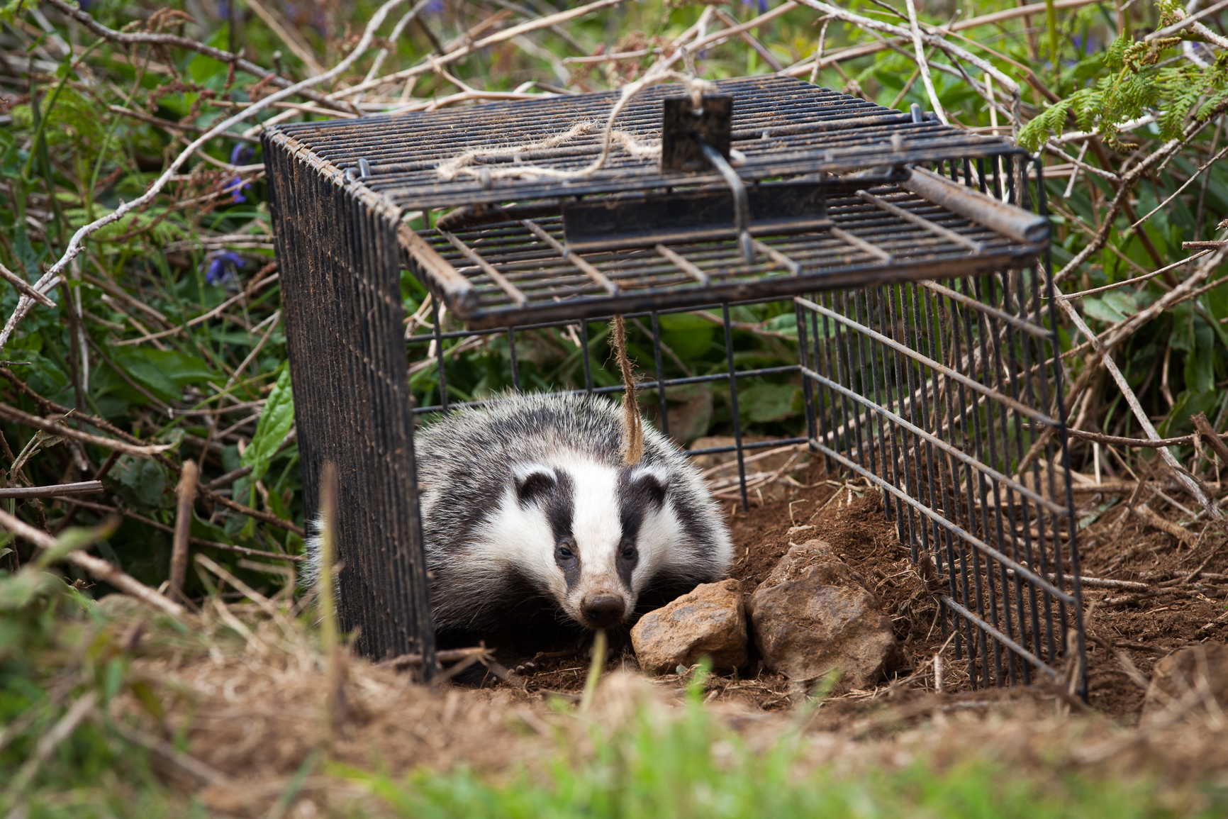 A badger being released (Seth Jackson/PA)