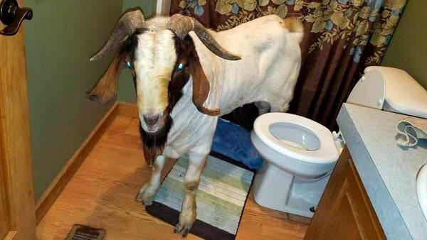 Goat breaks into house through glass door for bathroom nap