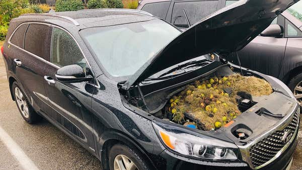 Man discovers car trouble caused by squirrel stashing 200 walnuts inside bonnet