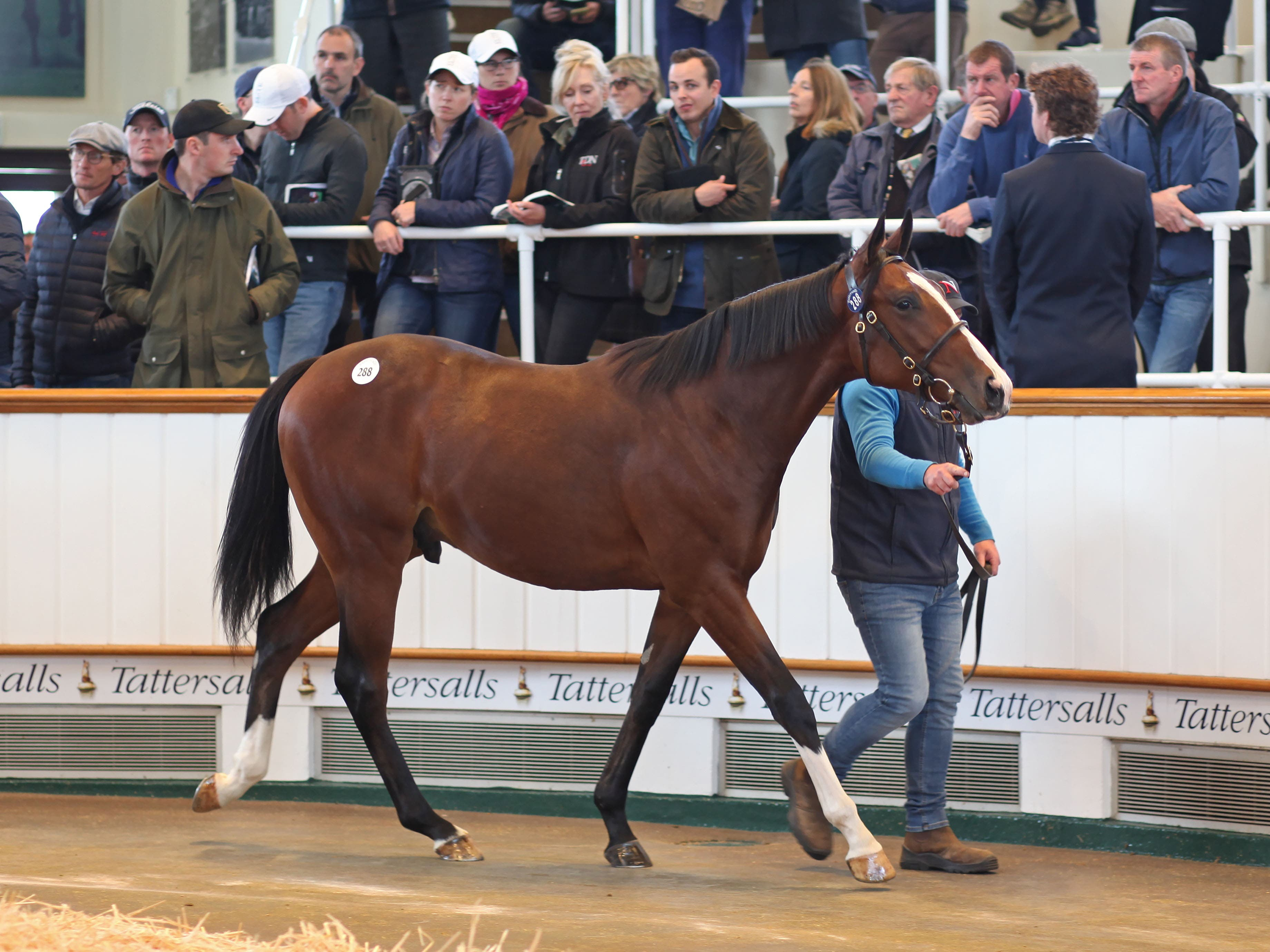 Lot 288, a Frankel half-brother to Golden Horn, was the start of day two of the Tattersalls sale (Tattersalls)