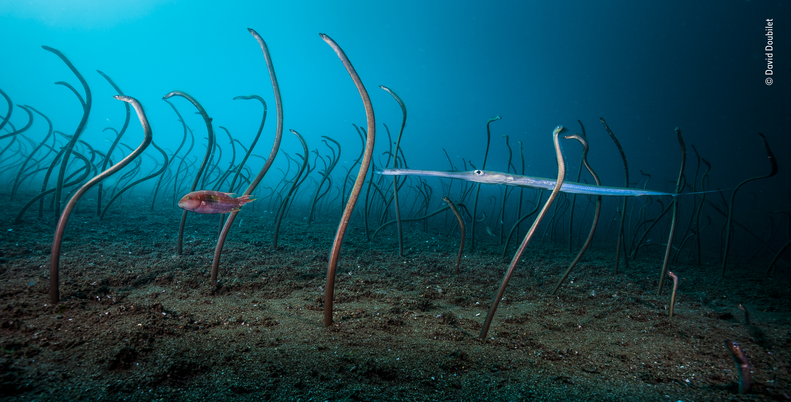 A garden of eels image won the Under Water category of the Wildlife Photographer of the Year (David Doubilet/PA)