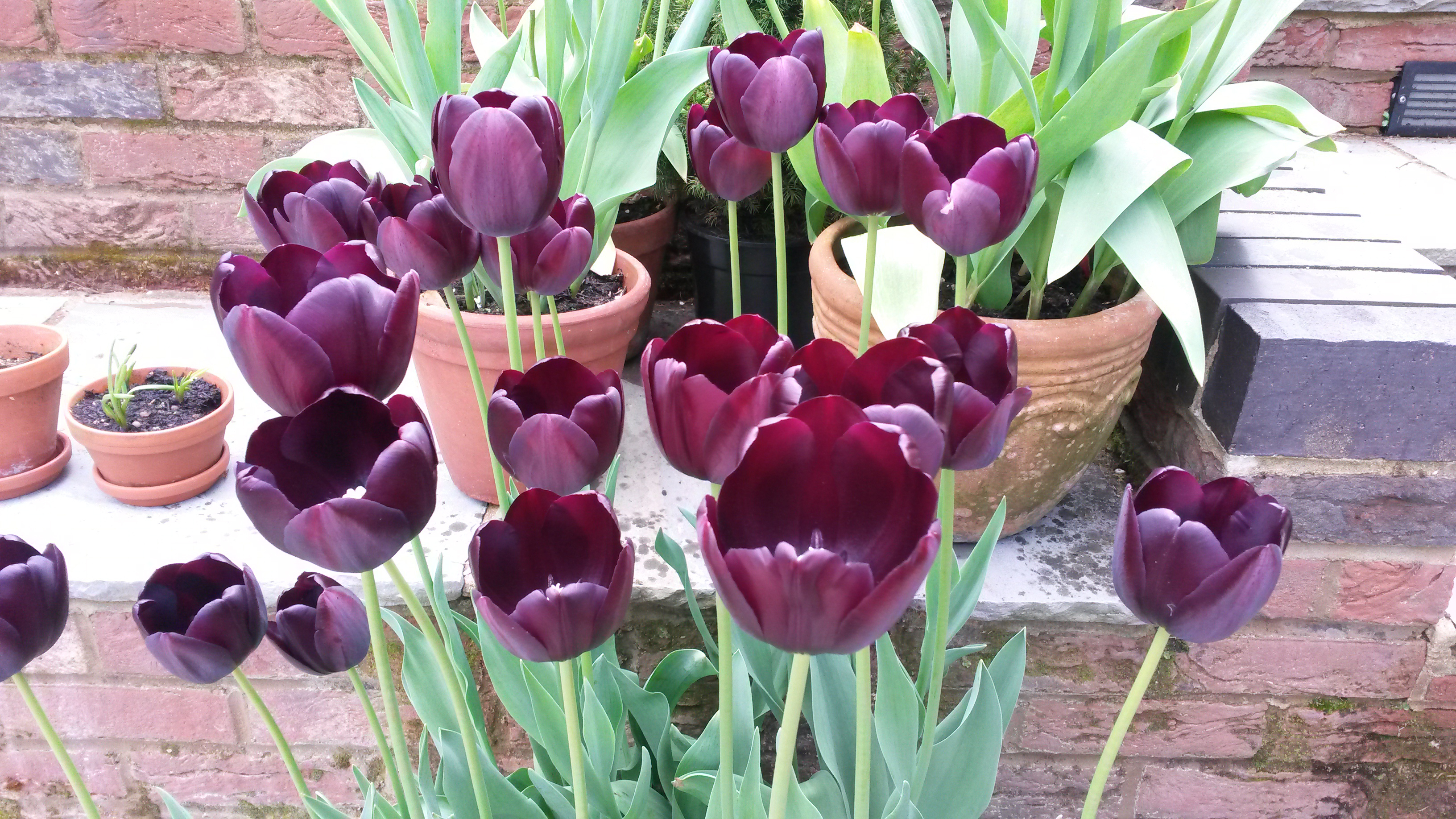 Tulipa 'Queen of Night' is a reliable variety for a pot (Hannah Stephenson/PA)