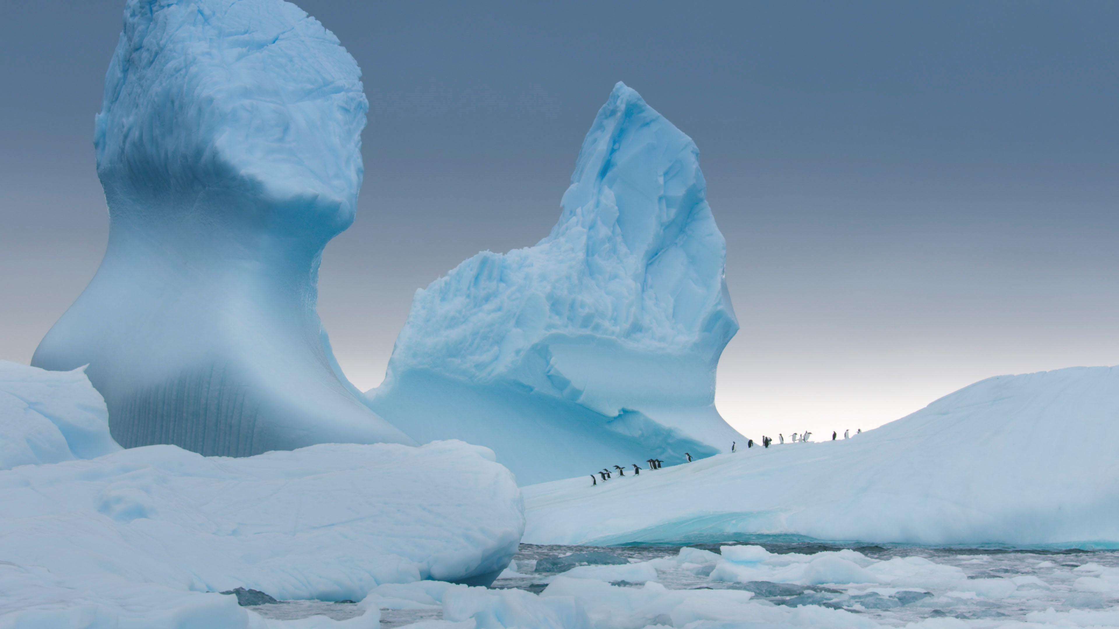 Gentoo penguins gather on an iceberg before heading out to sea to feed in the Antarctica episode of Seven Worlds, One Planet