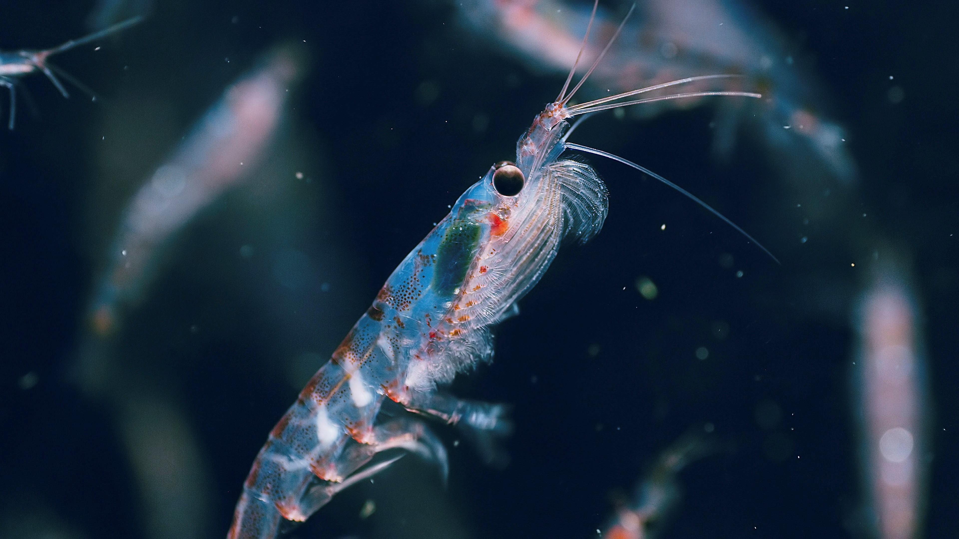 Antarctic krill in Seven Worlds, One Planet