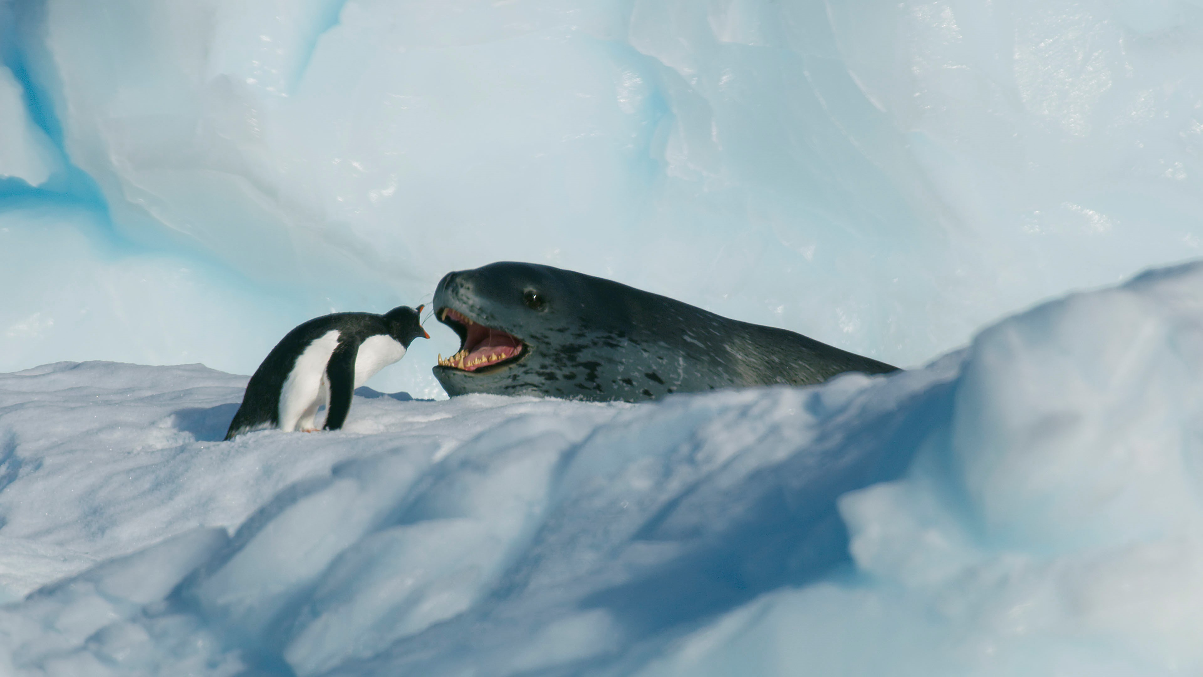 A gentoo penguin comes face-to-face with its main predator, the leopard seal