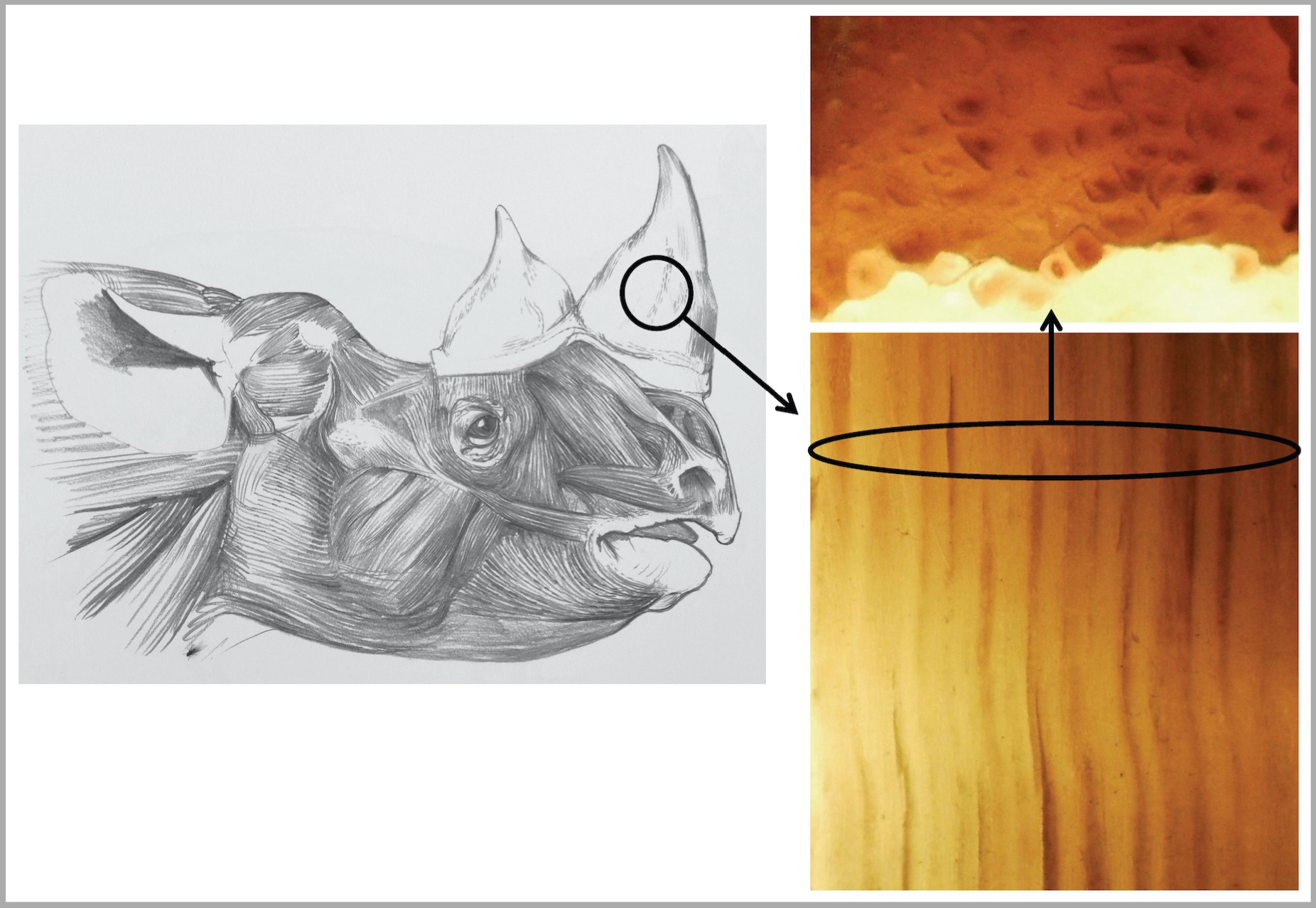 Head of rhino drawn to life by Jonathan Kingdon showing to the right both length and cross sections of slivers of its horn