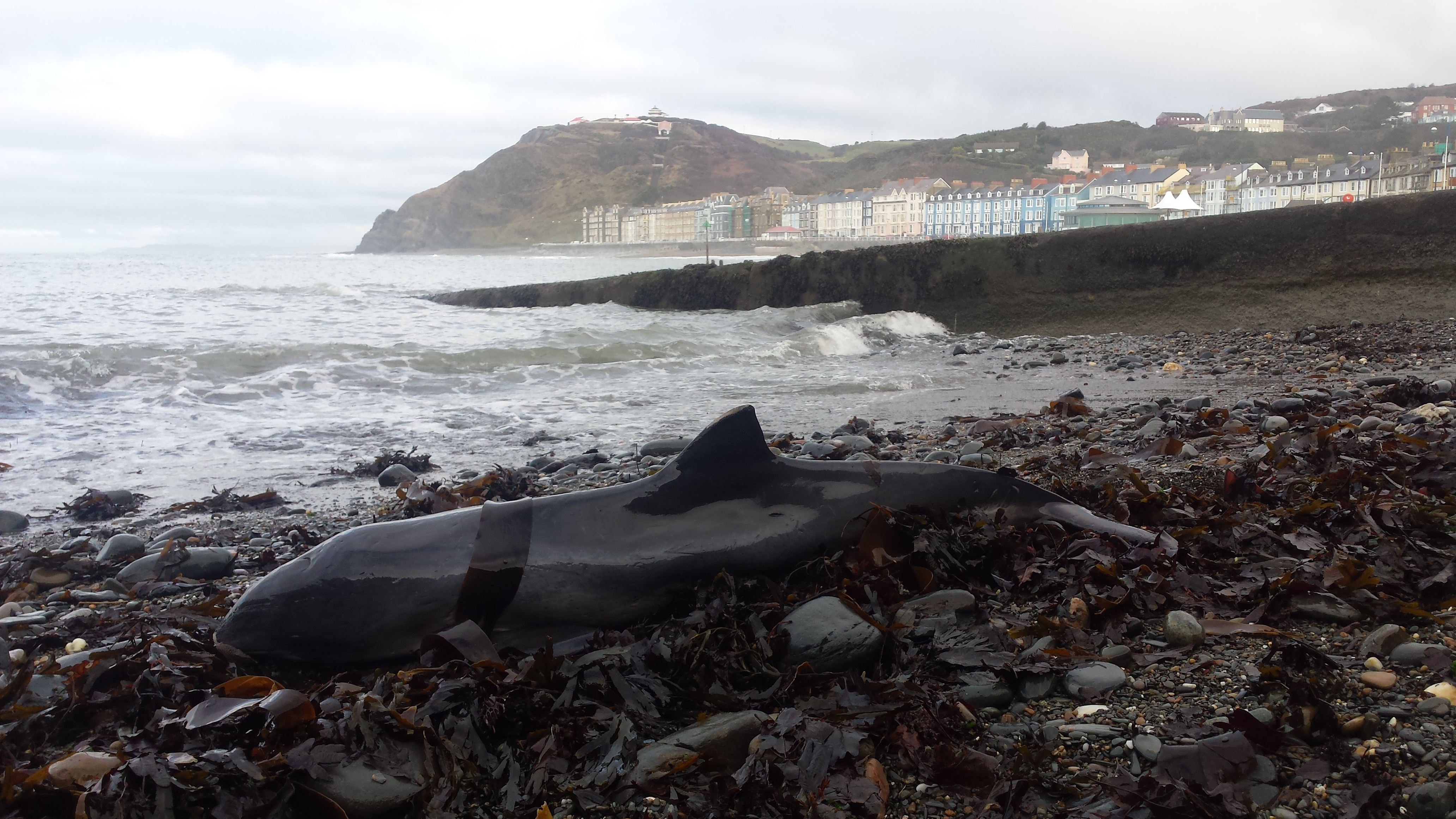 Stranded porpoise in Wales