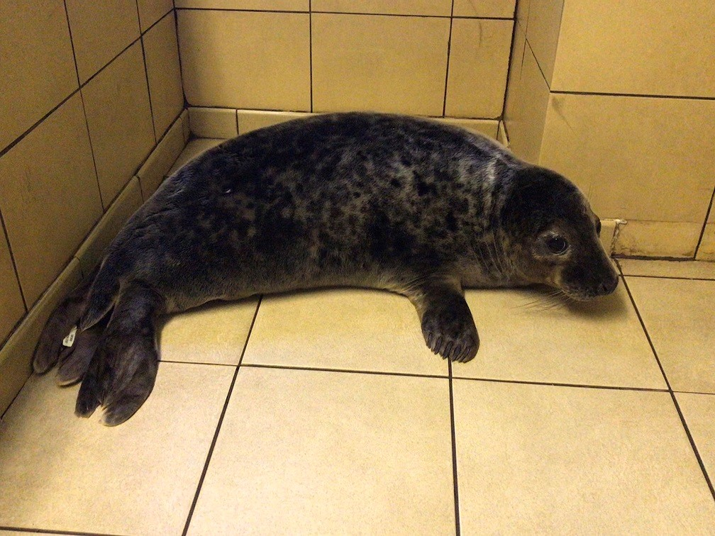A grey seal pup (RSPCA/PA)