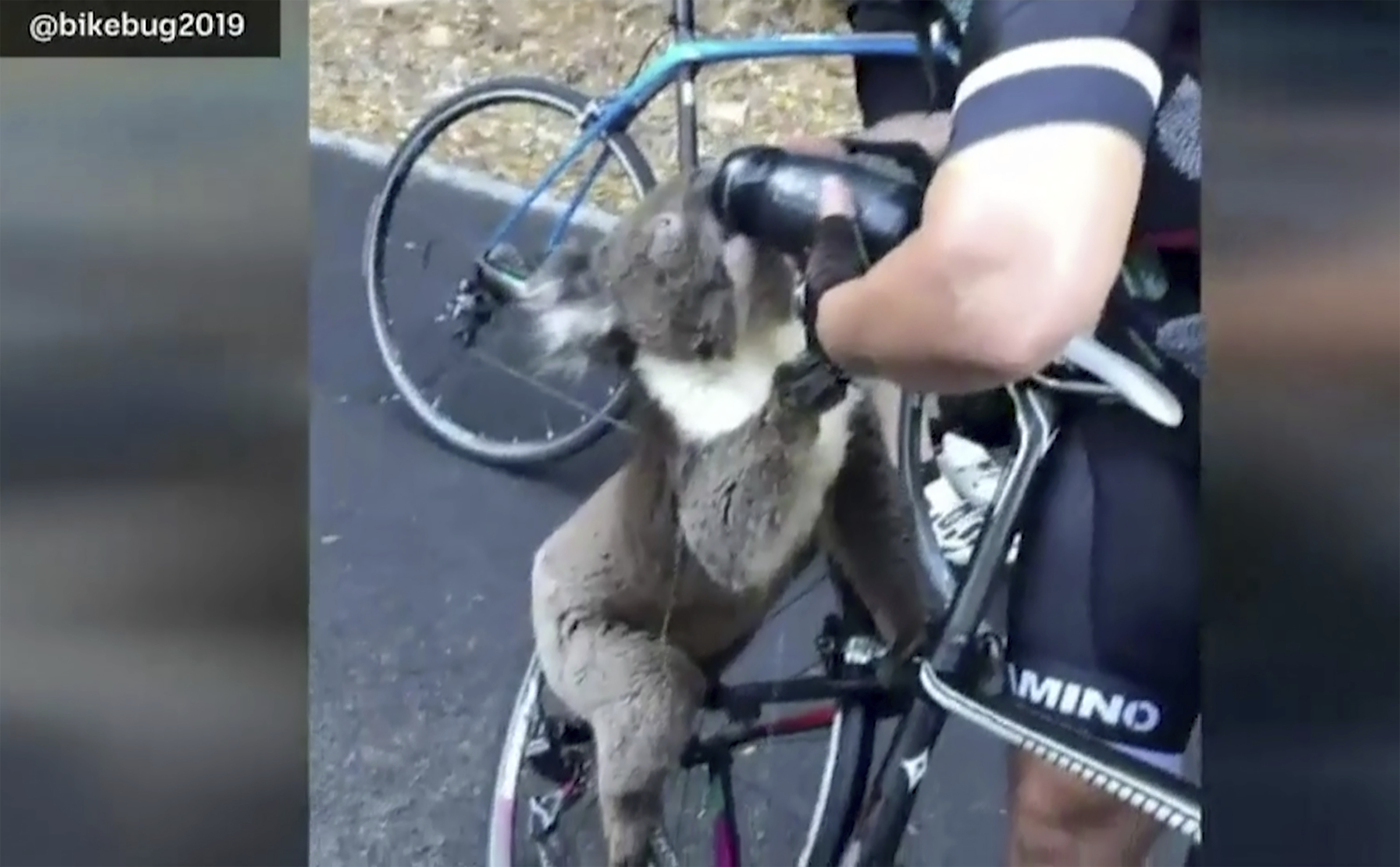 Koala drinks water