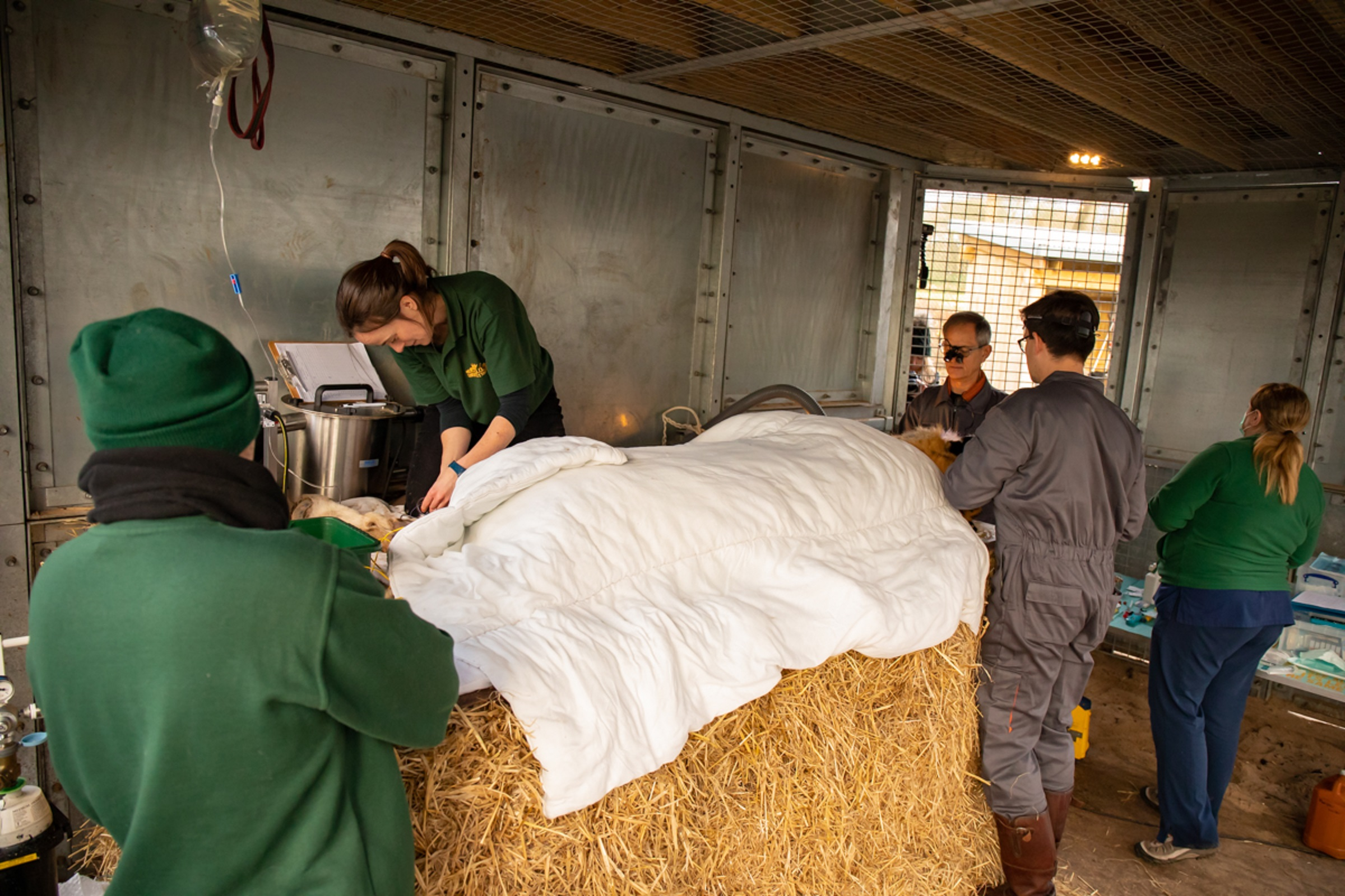 Kuzma the tiger receives dental treatment at Knowsley Safari