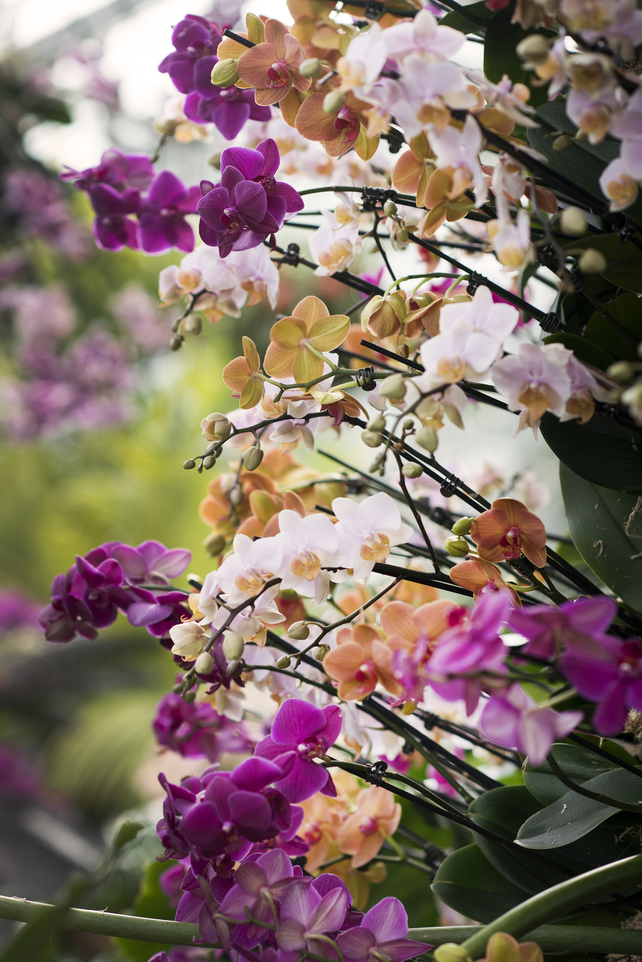Orchid mania at Kew Gardens Orchid Festival (Jeff Eden/Royal Botanic Gardens Kew/PA)