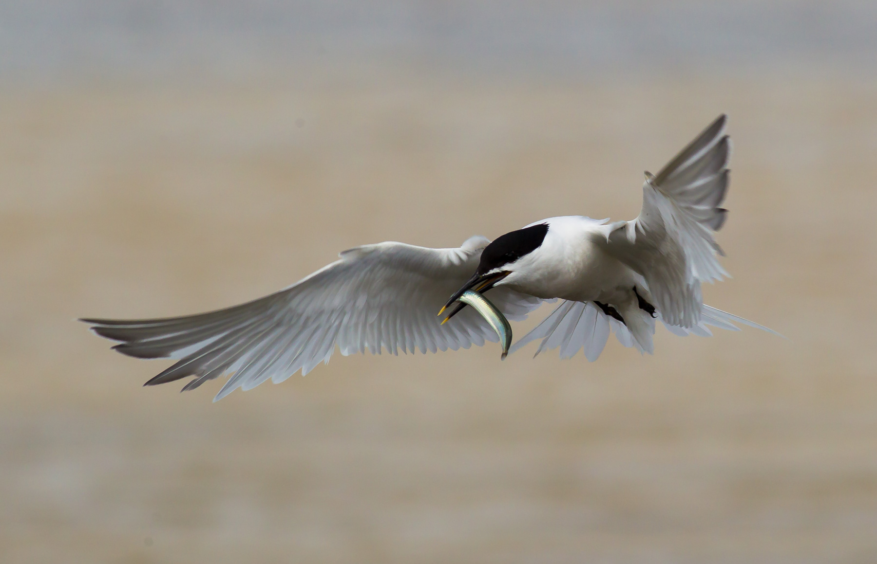 Sandwich terns are among the birds the new protections aim to help (Natural England/PA)