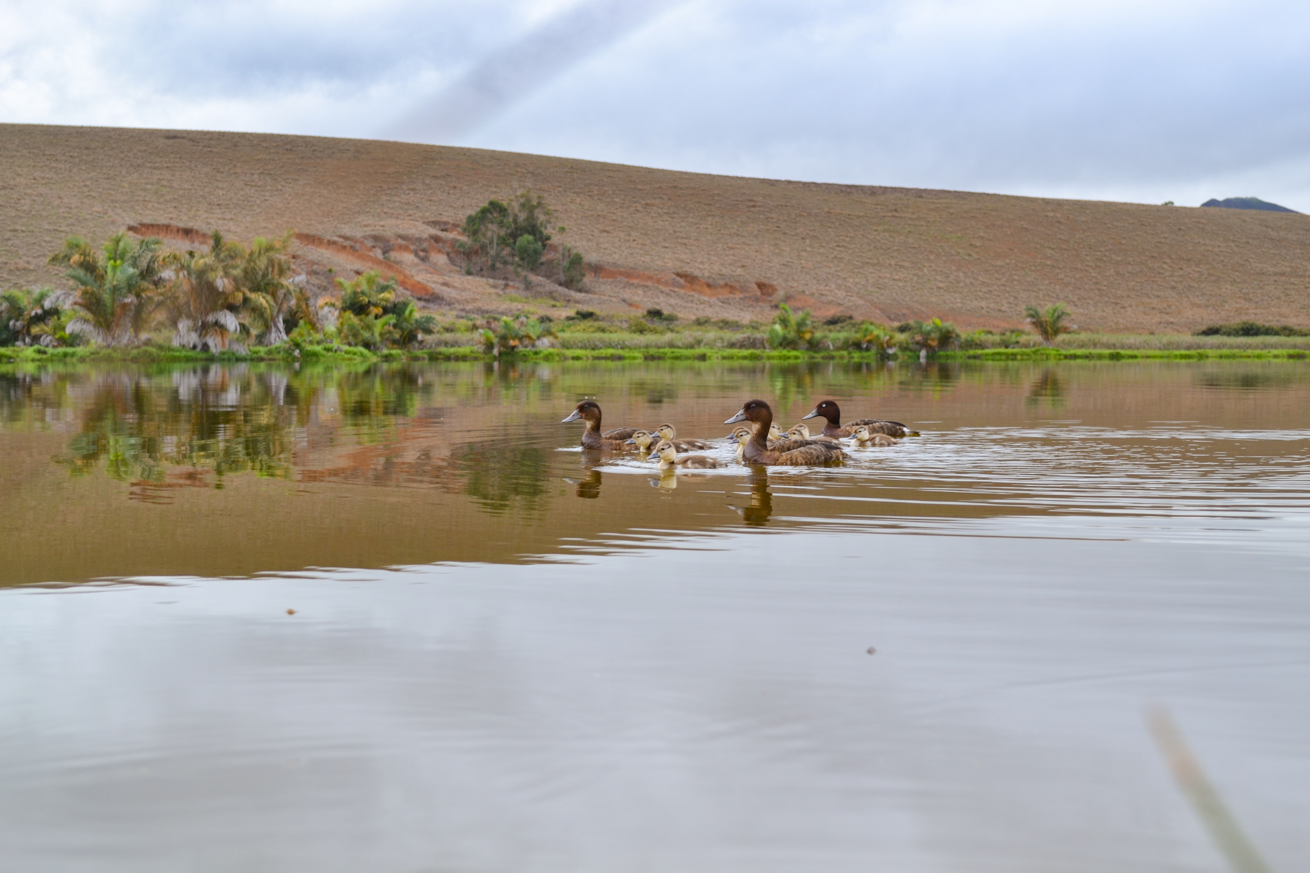 The ducklings' arrival is a milestone for the project (Durrell Madagascar/PA)