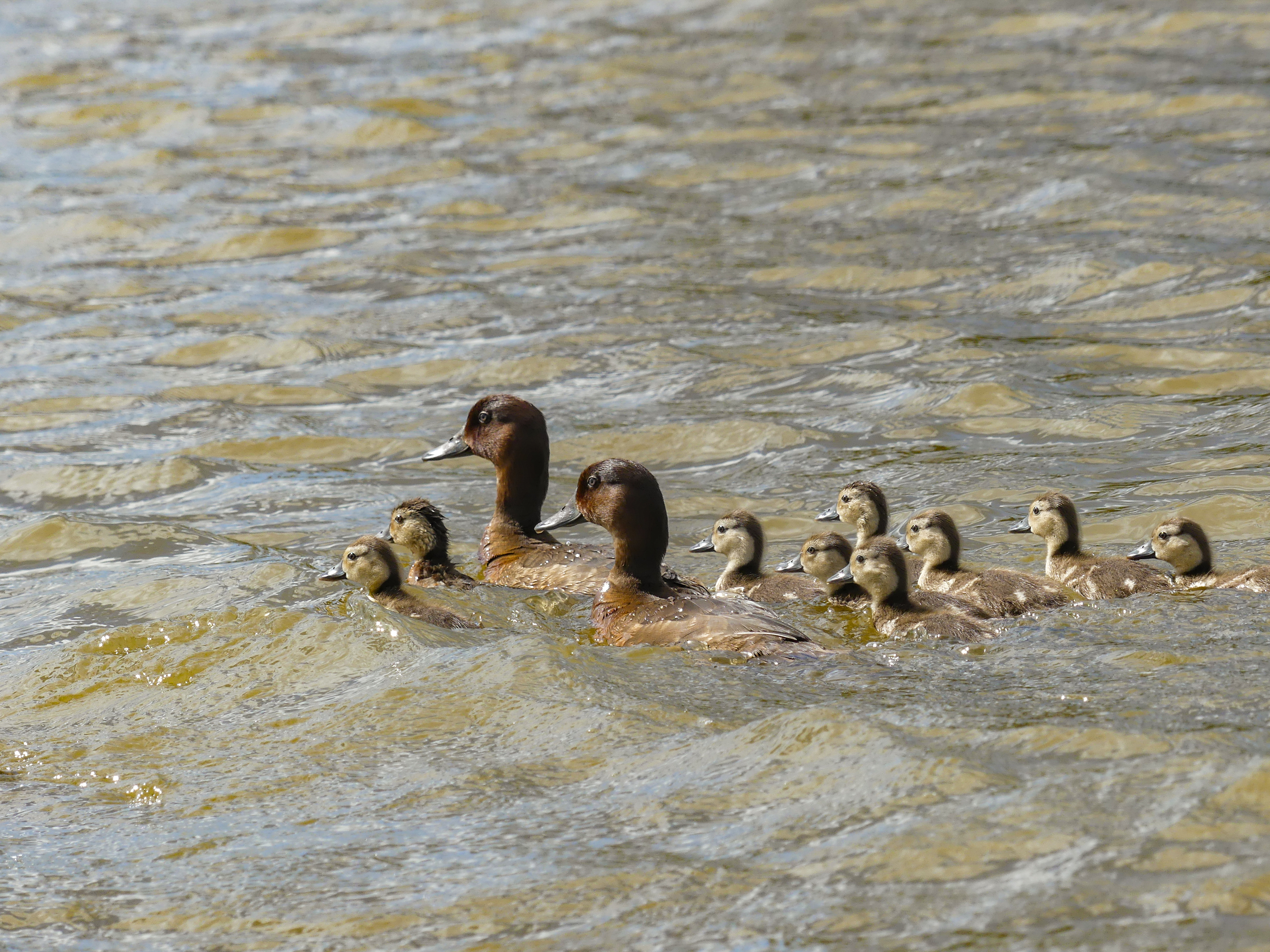 A total of 12 ducklings have been spotted on the lake in Madagascar (Durrell Madagascar/PA)