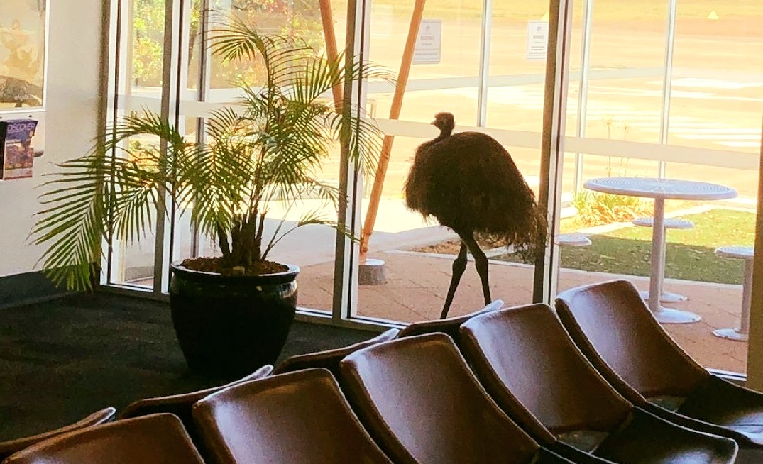 An emu at Whyalla Airport in South Australia