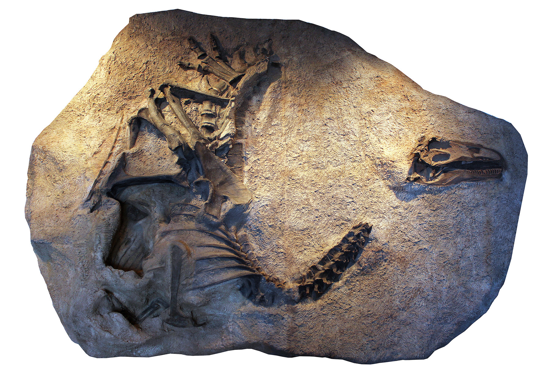 A cast of the skeleton and skull of Allosaurus jimmadseni as it was discovered and now on exhibit at Dinosaur National Monument in Utah.