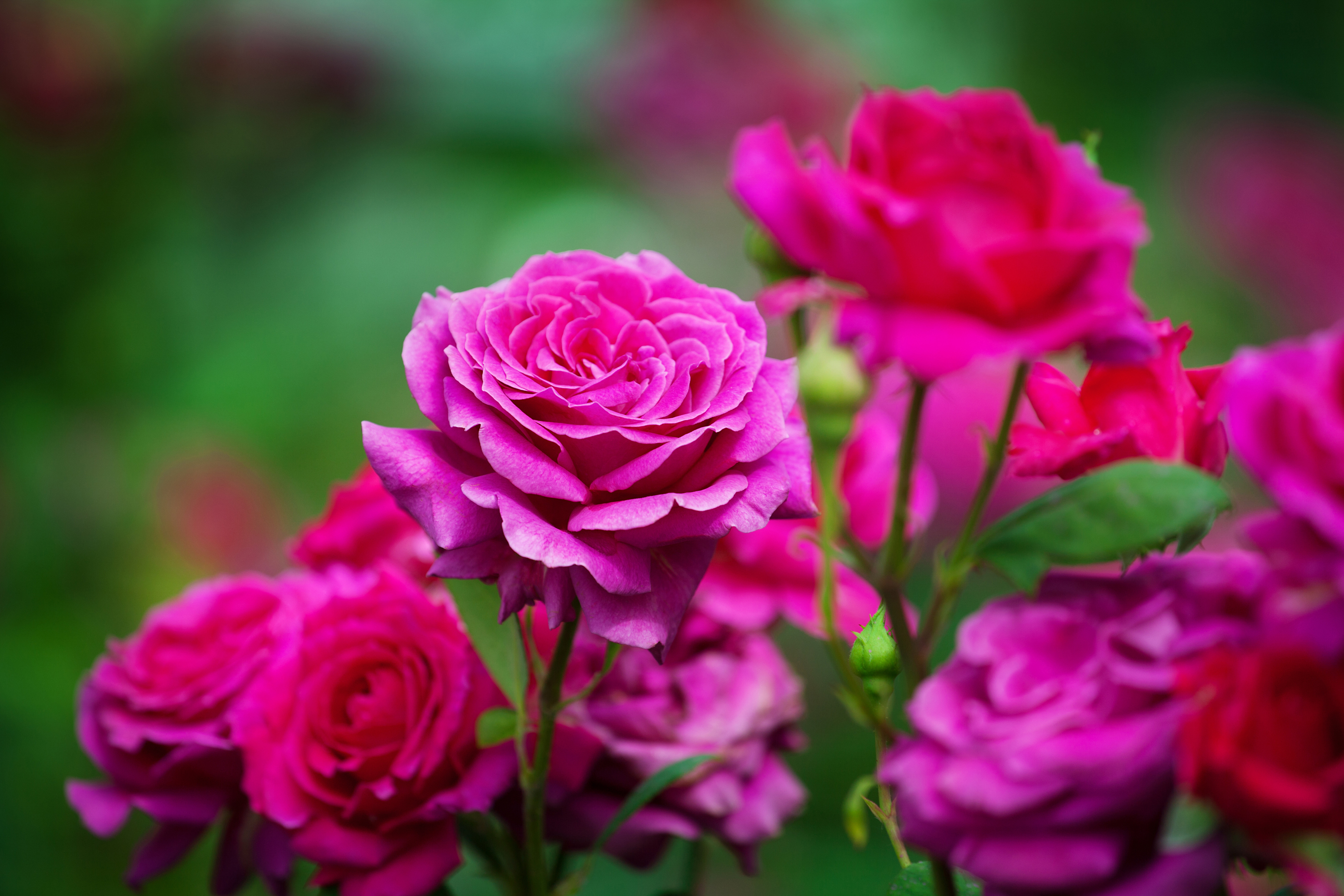 Roses may need a little looking after, but they bring romance into the garden (iStock/PA)