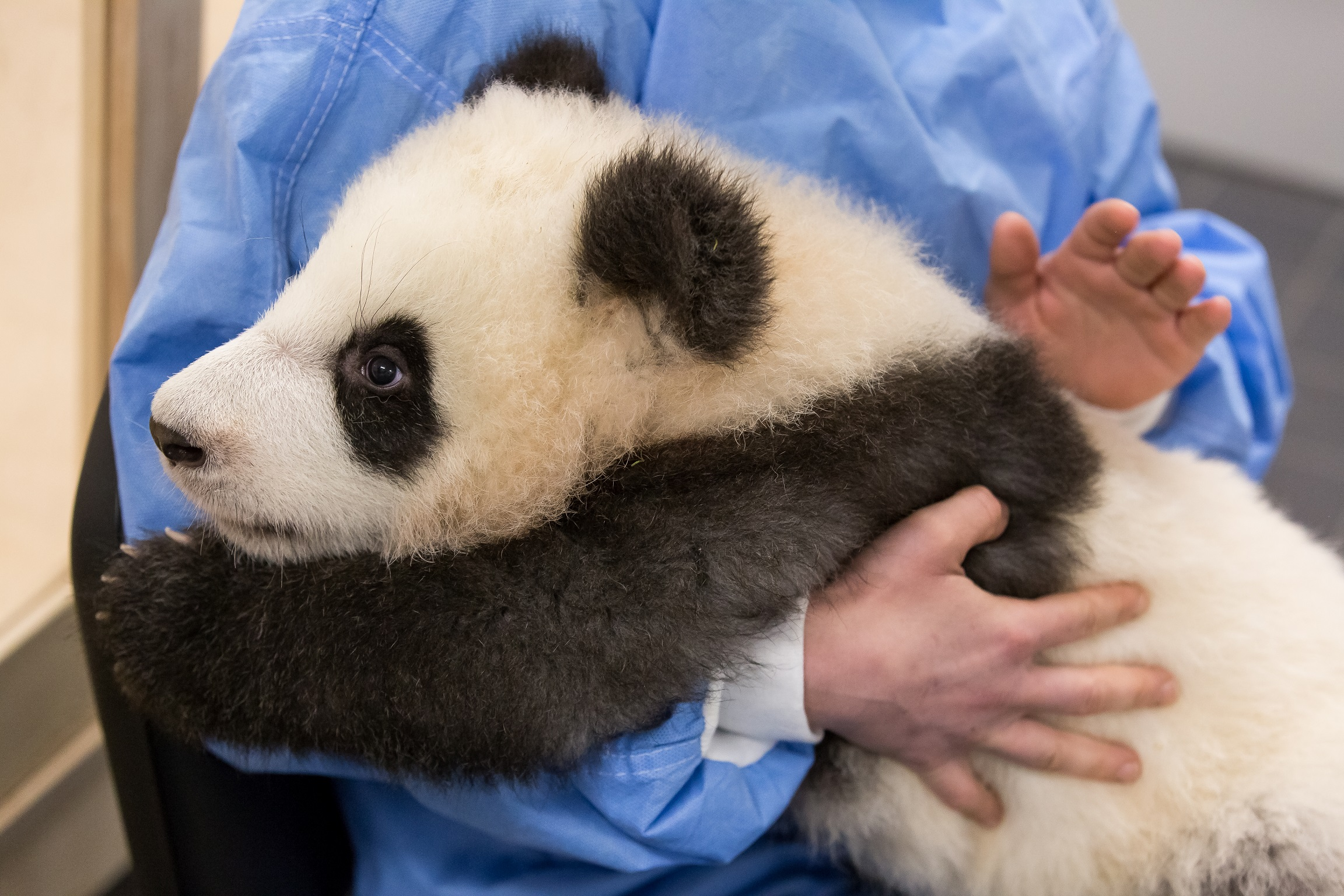 Pit the panda cub is burped after being bottle fed