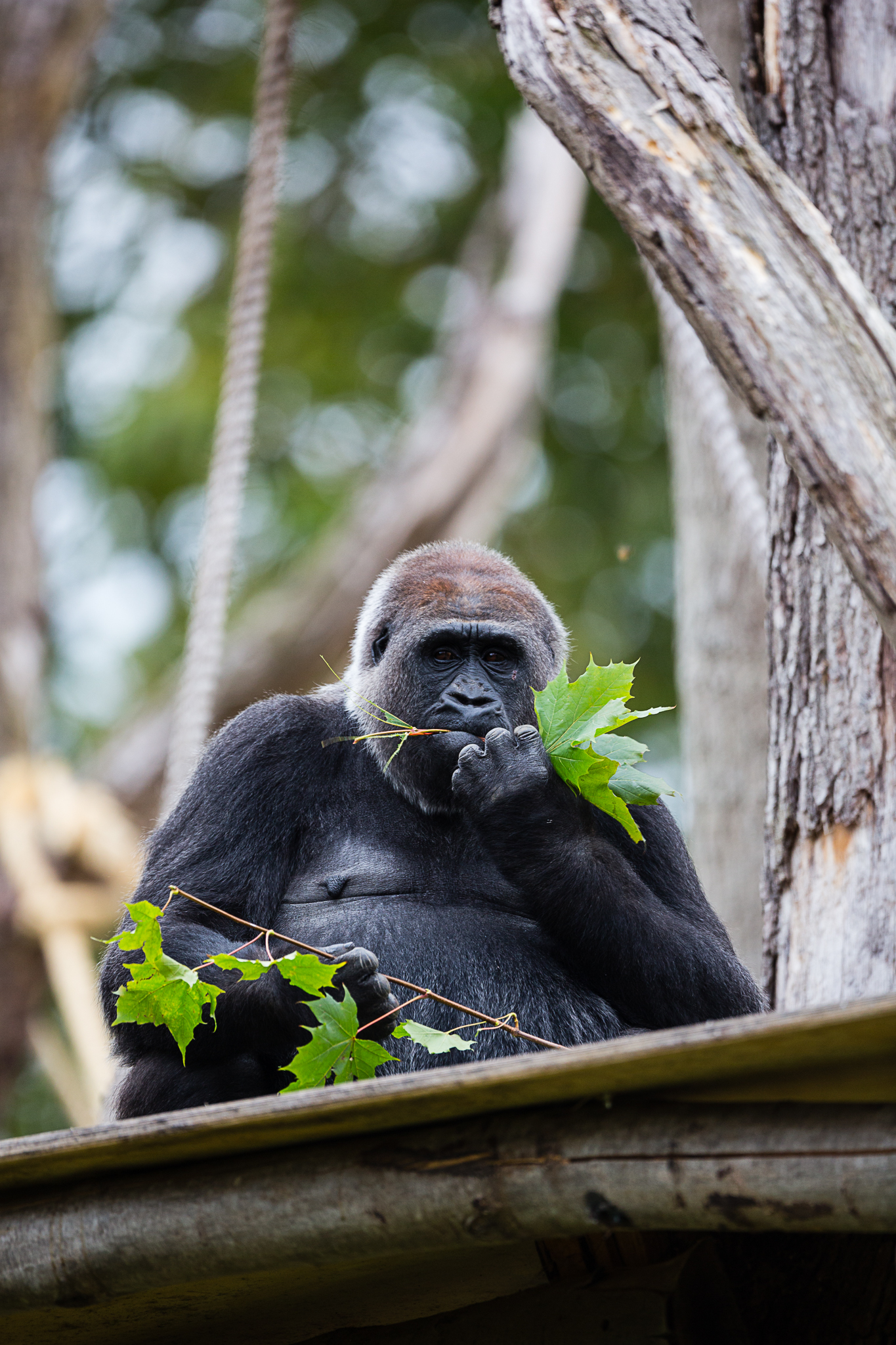 Western lowland gorilla are among the animals at ZSL London Zoo (ZSL/PA)