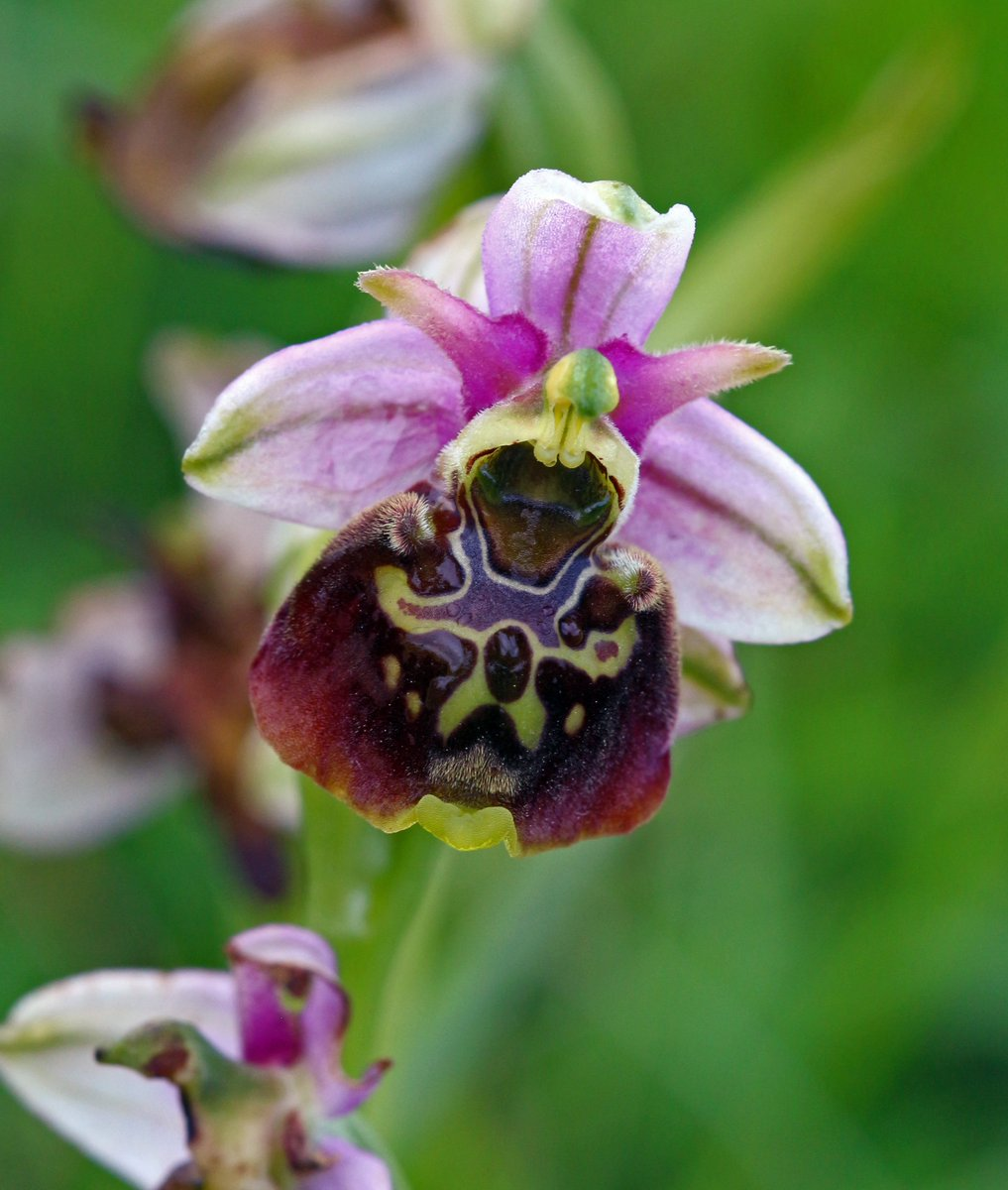 Bee orchids have been found in Scotland (Trevor Dines/Plantlife/PA)