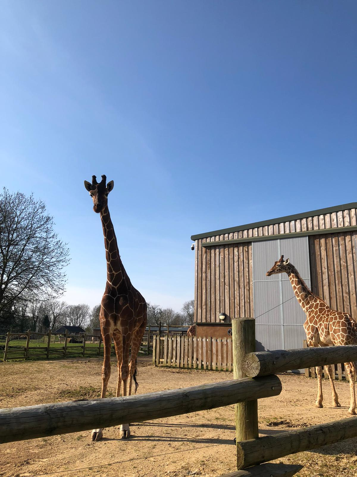 Two giraffes bask in the sun at the Wild Place project