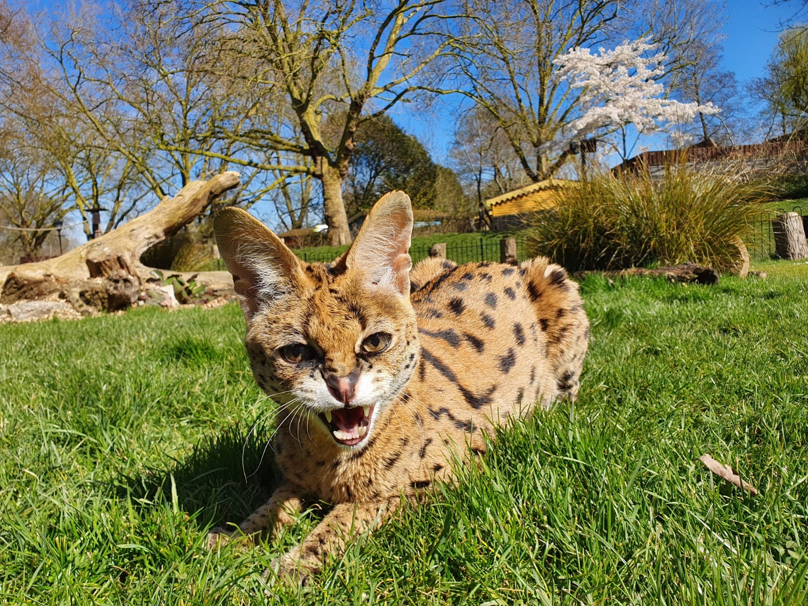 Xena the serval enjoys the sunshine at ZSL London Zoo