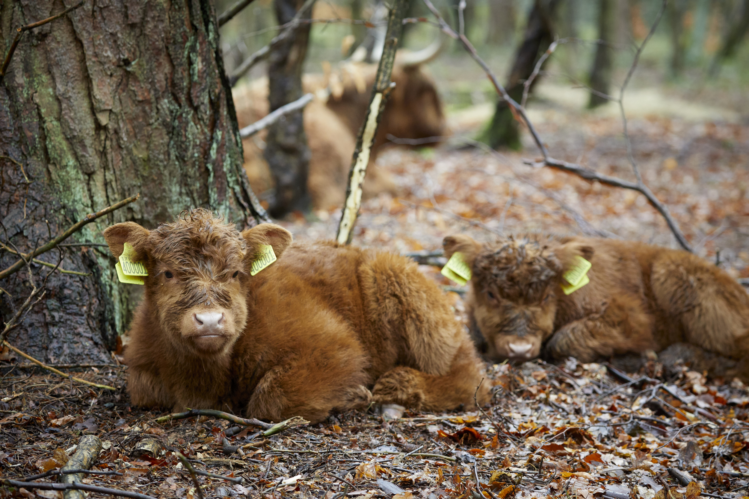 Bramble and Hope, the latest arrivals at the National Trust's Lyme Park