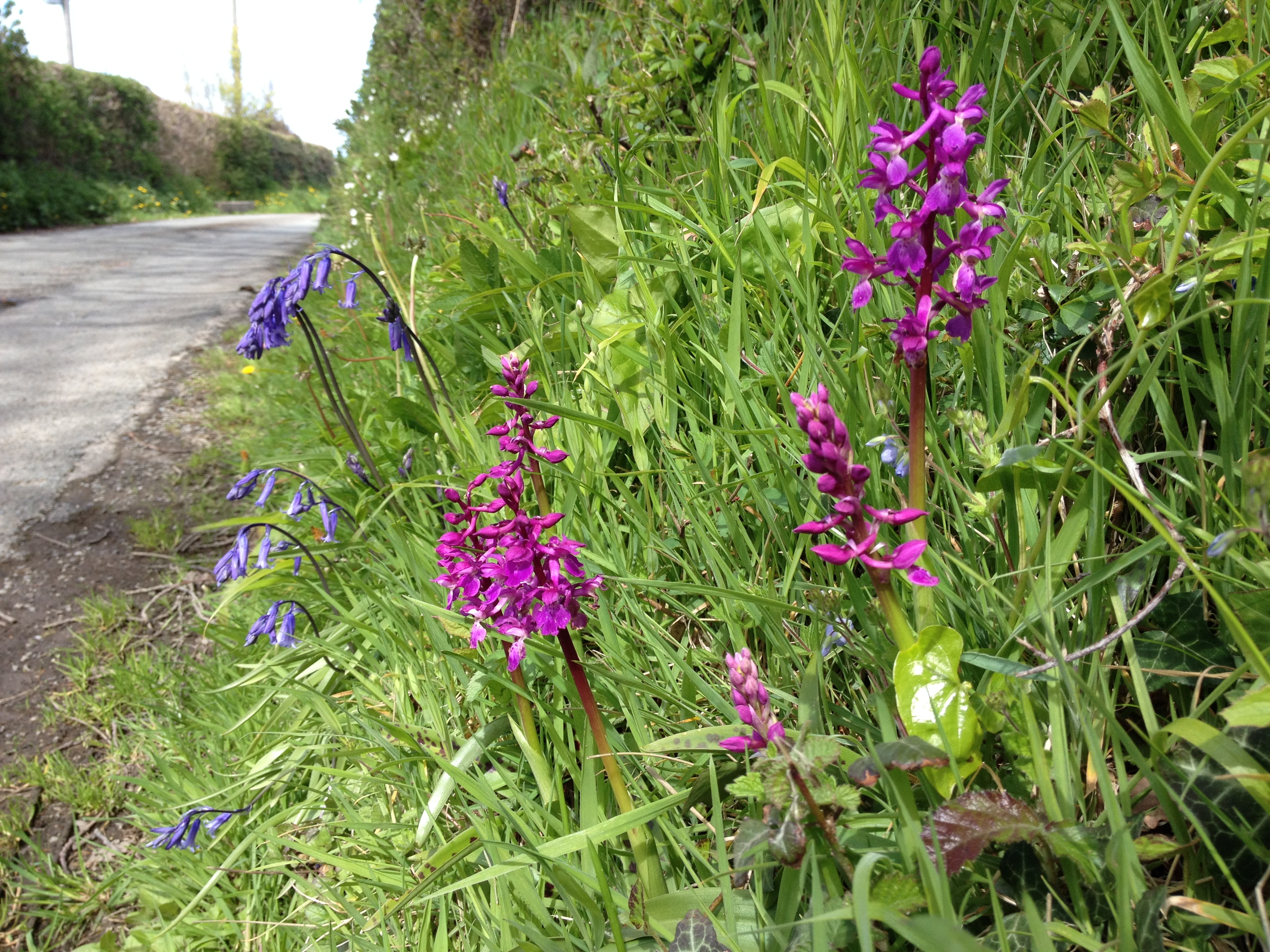 Early purple orchid on road verge in Conwy north Wales (Trevor Dines/Plantlife/PA)